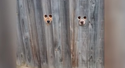 holes in fence reveal dogs