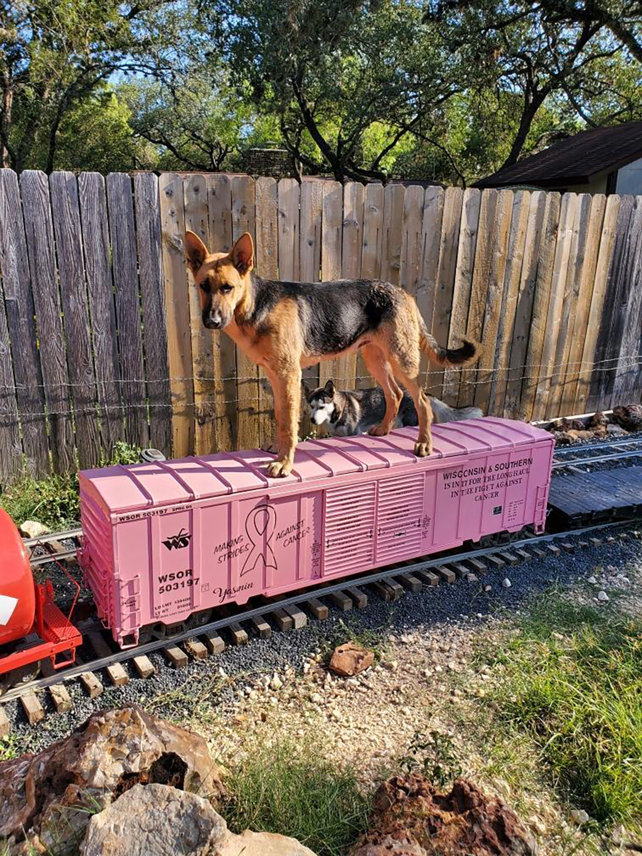 german shepherd on pink box car