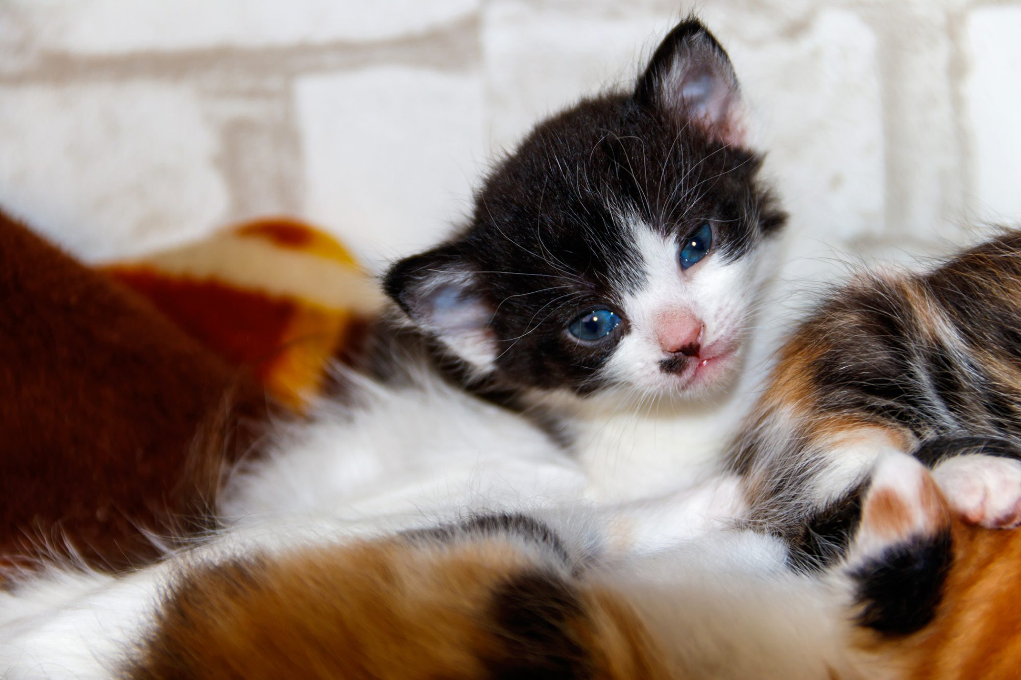 ten to fourteen-day-old kitten snuggling with his litter