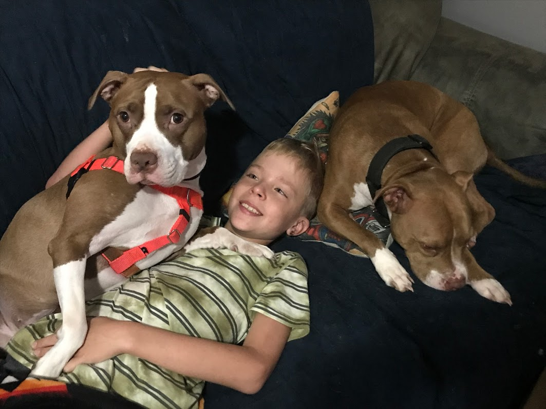 two pit bulls on couch with kid