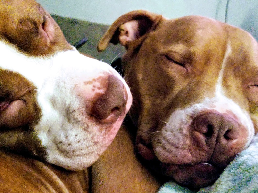 two pit bulls cuddle