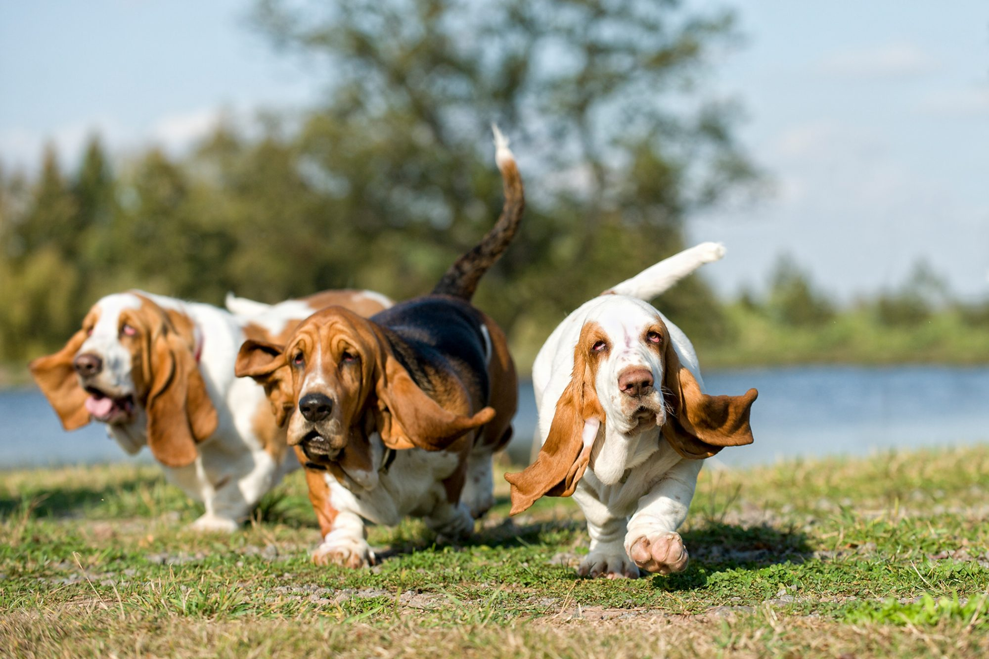 three Basset Hounds running in a park