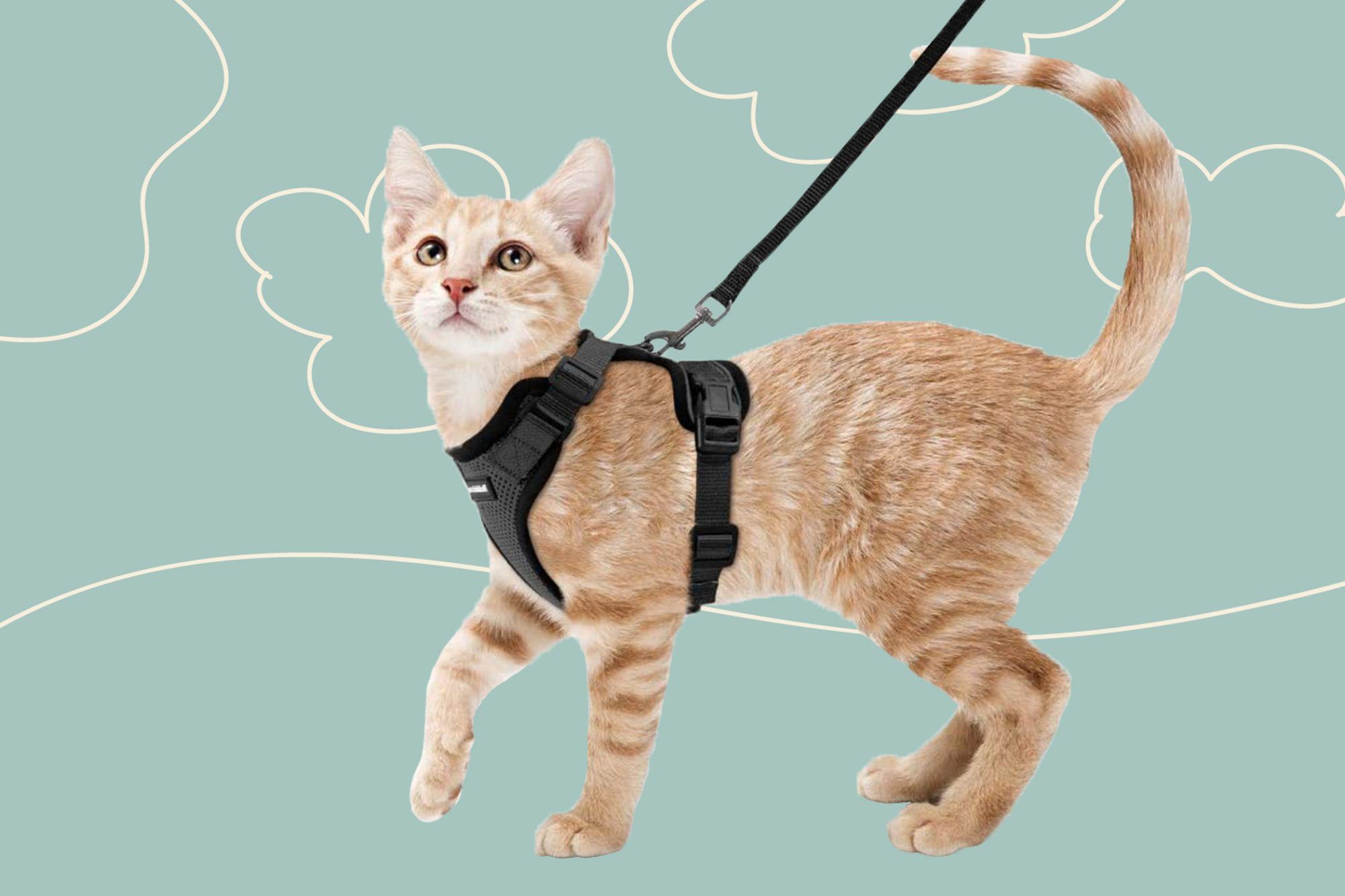 cat wearing harness and taking a walk