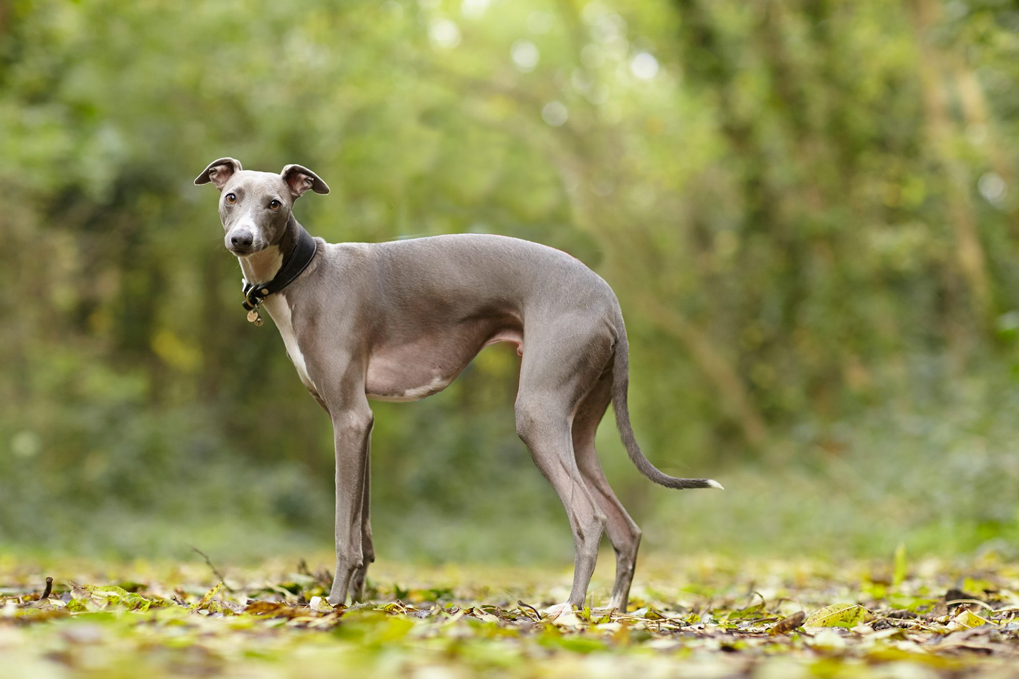 whippet dog standing in wooded area