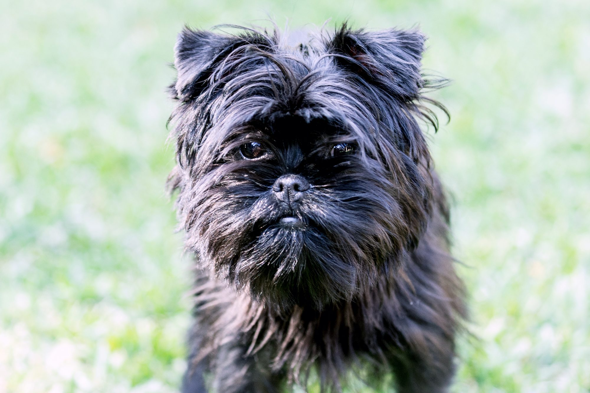 black Affenpinscher dog on the grass