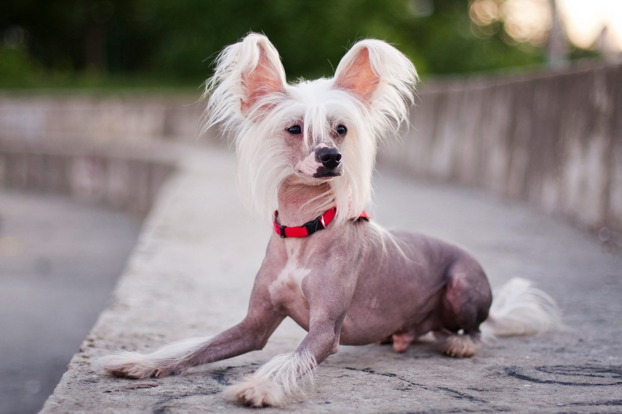 Chinese Crested dog posing on cement