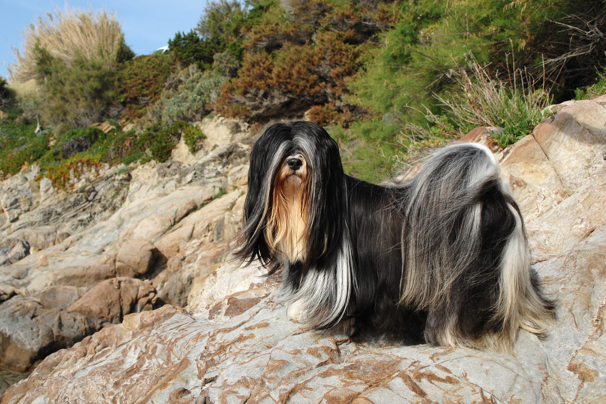 Lhasa Apso dog standing on rocky hill