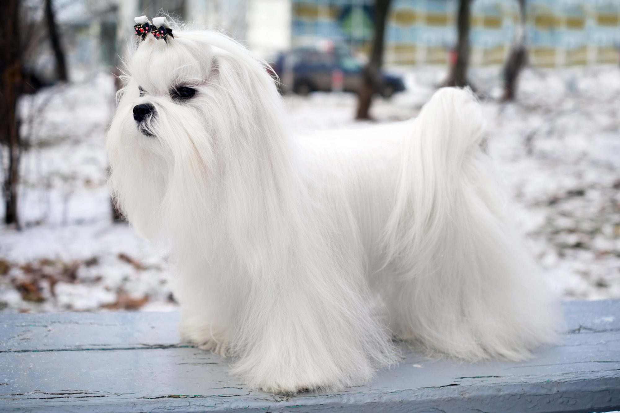 Maltese posing on a bench in the winter