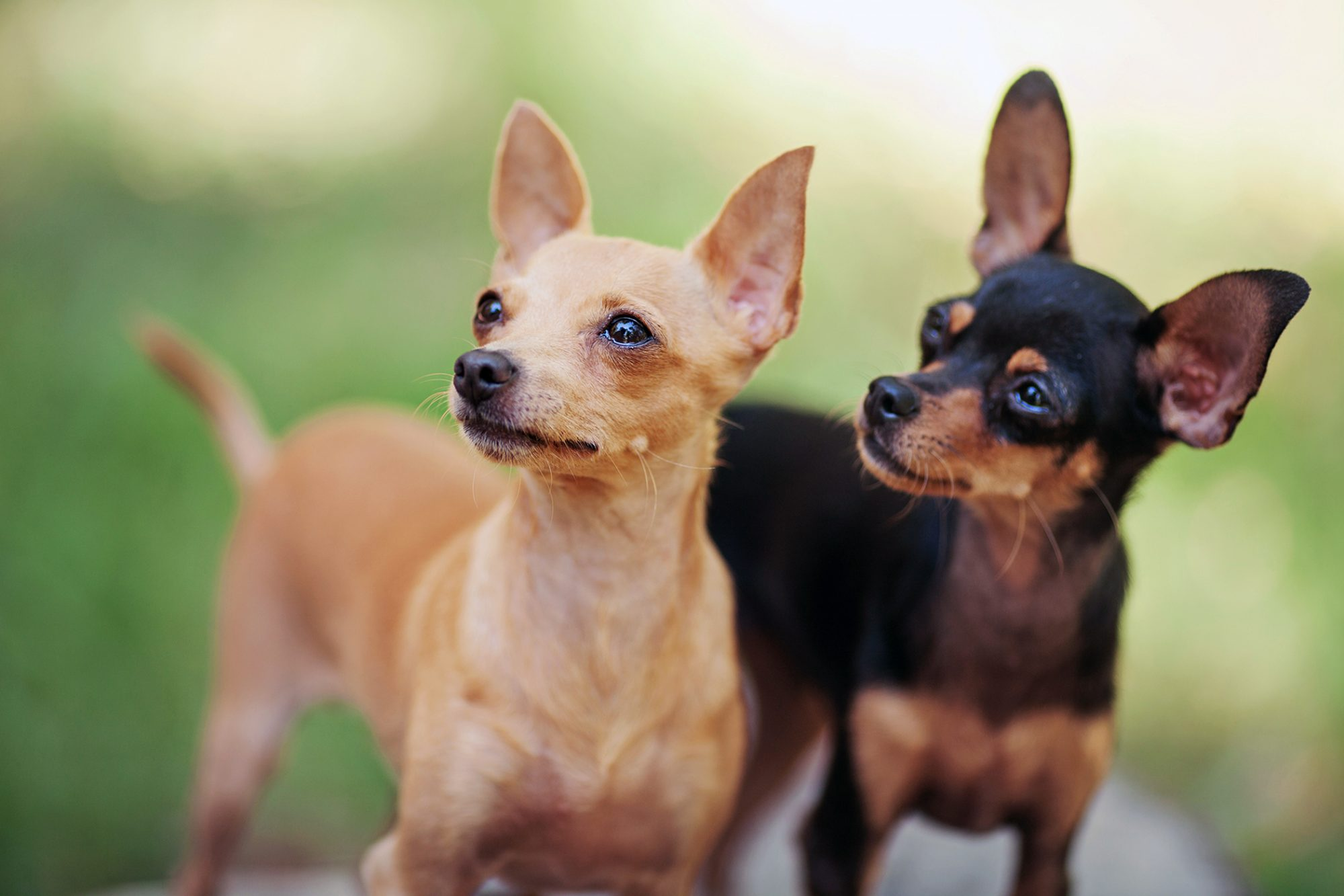 two Russian toy terriers
