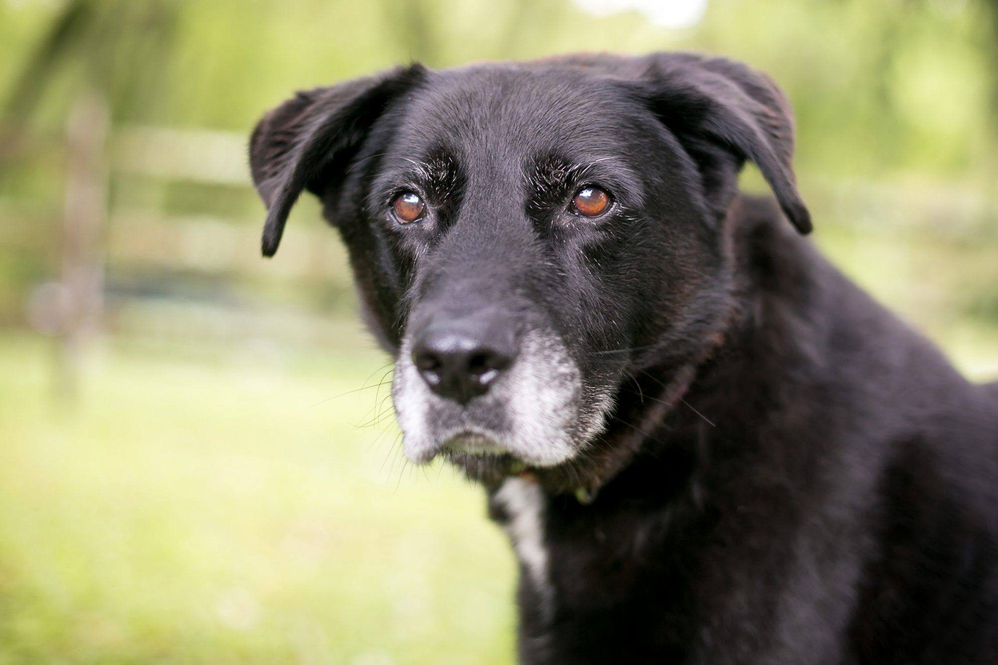senior black lab with graying muzzle