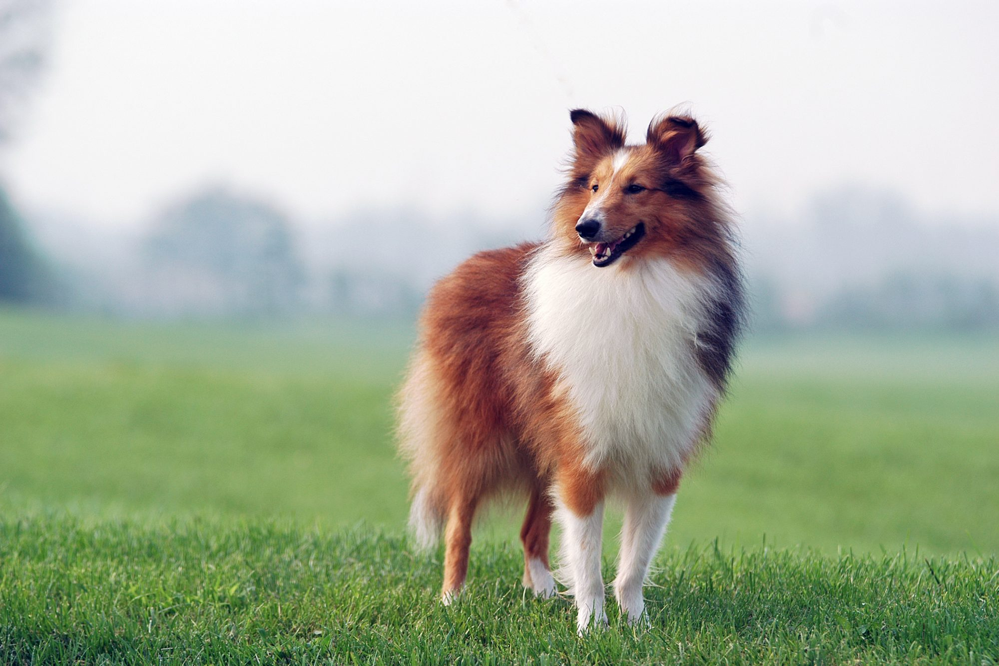 Collie standing in a grassy field