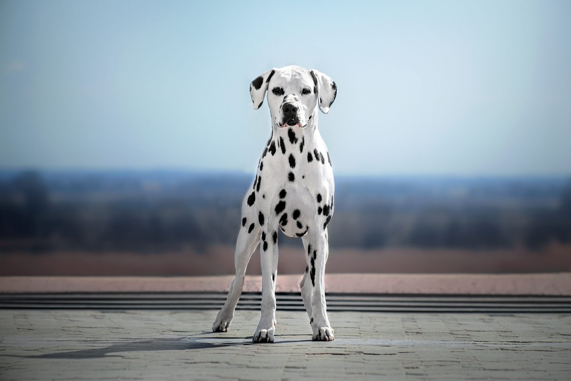Dalmatian dog in front of blue sky