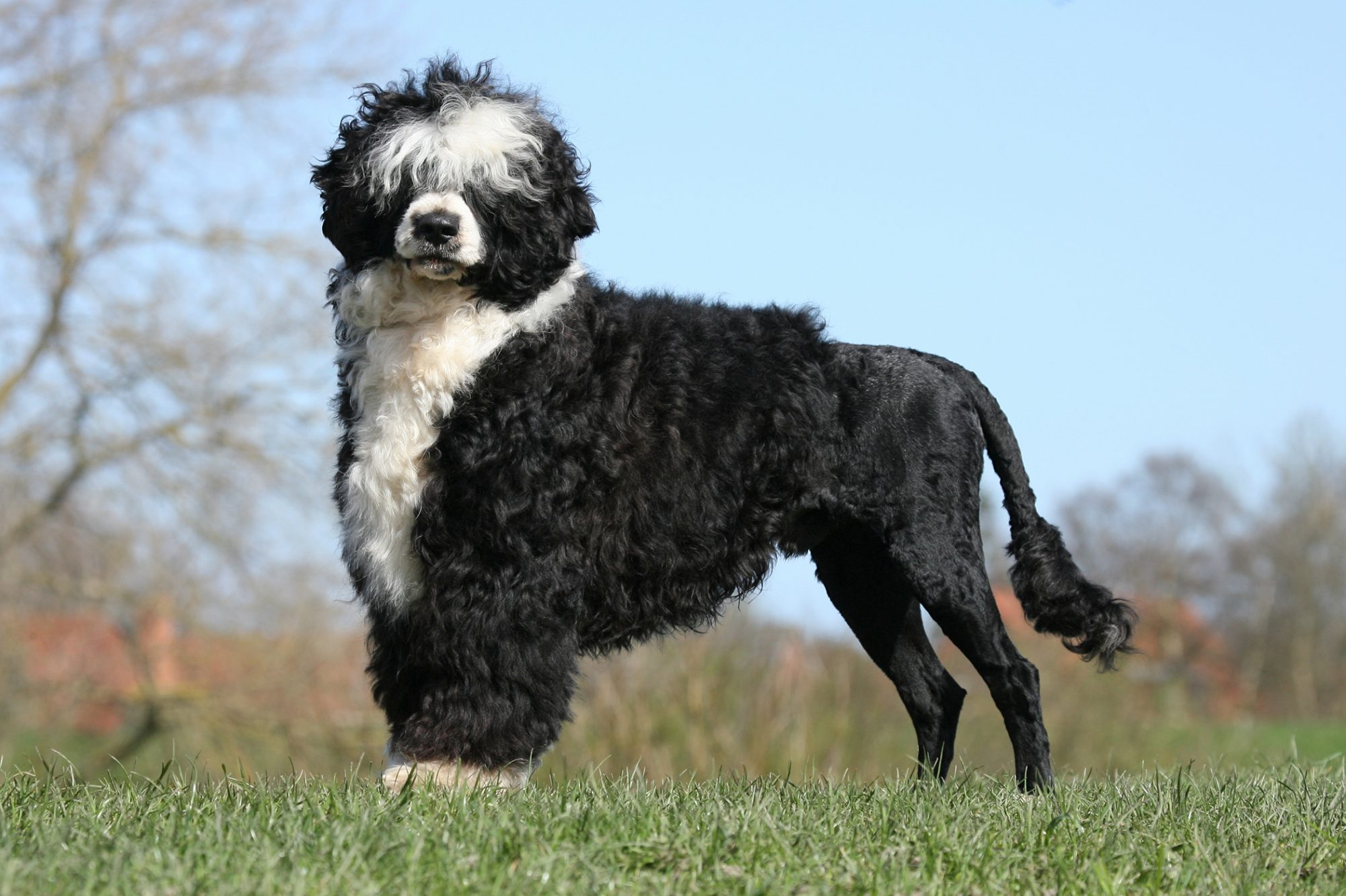 Portuguese Water Dog standing in the grass