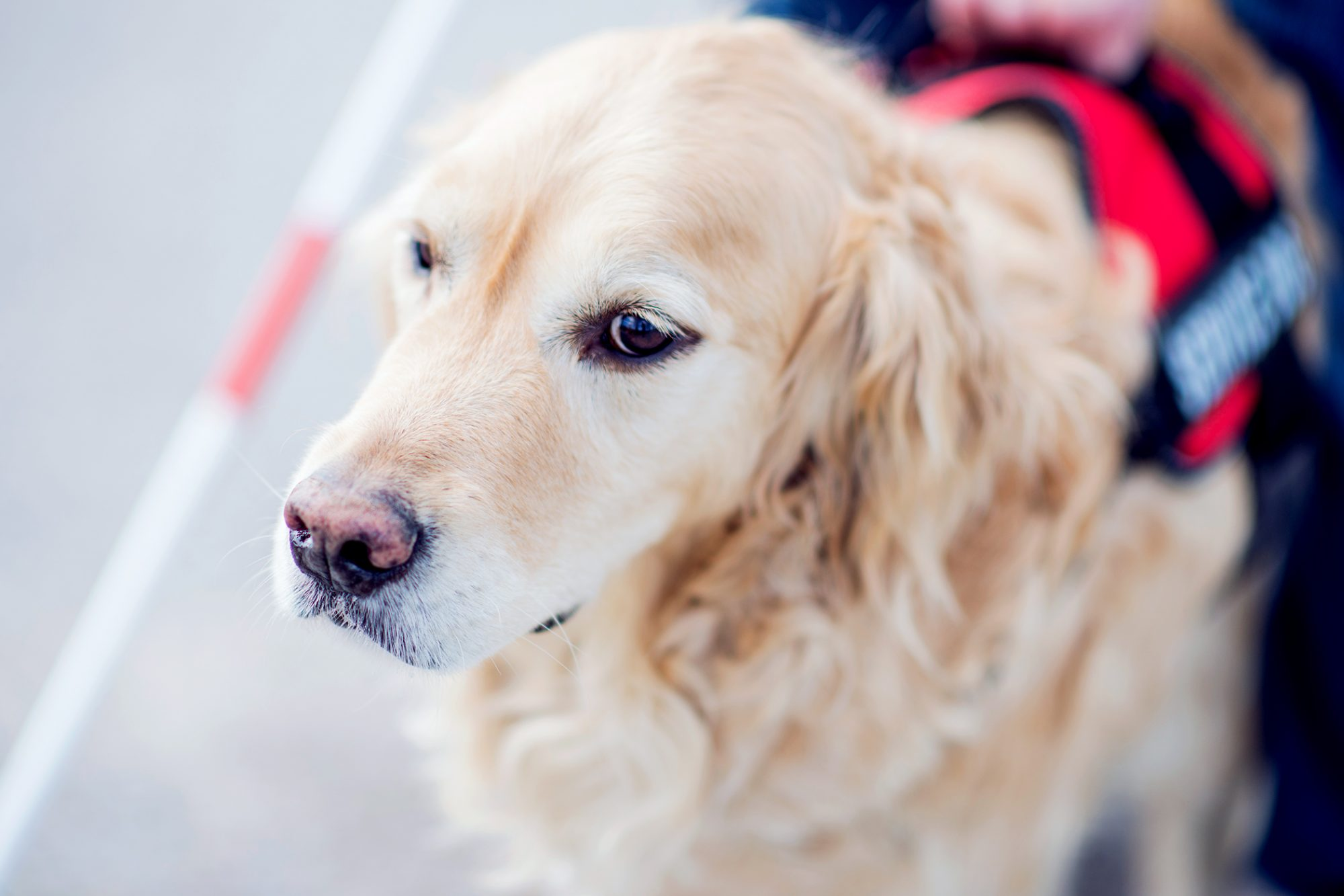 close up of service dog with blind person
