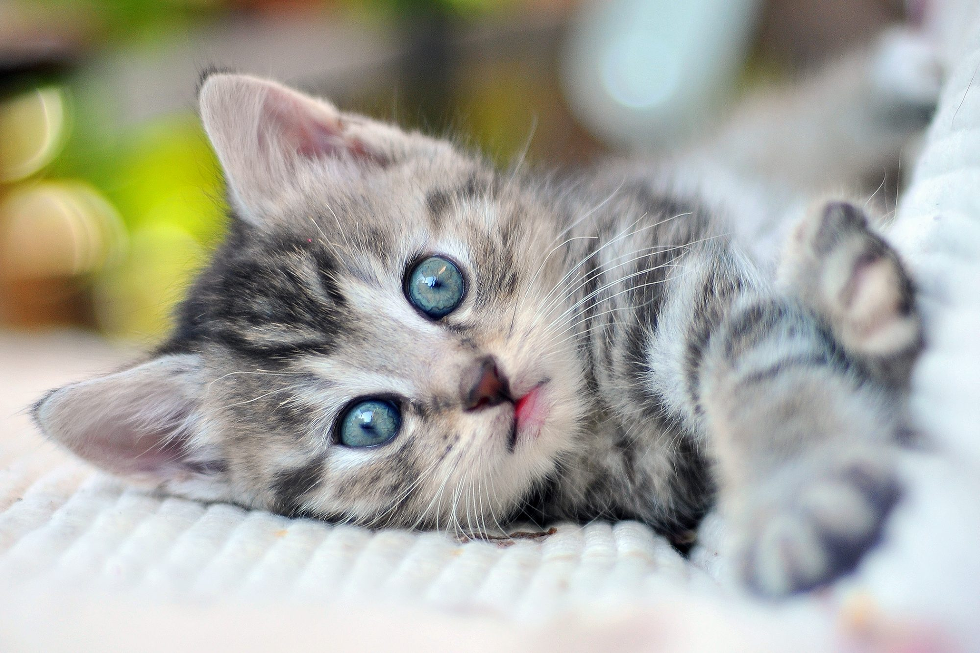 adorable kitten with blue eyes lying on a blanket