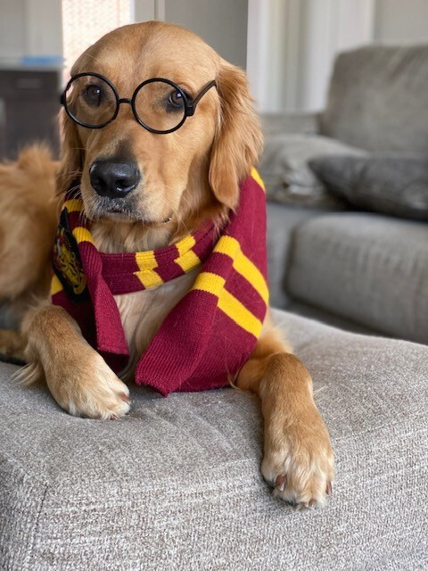 dog dressed up as Harry Potter