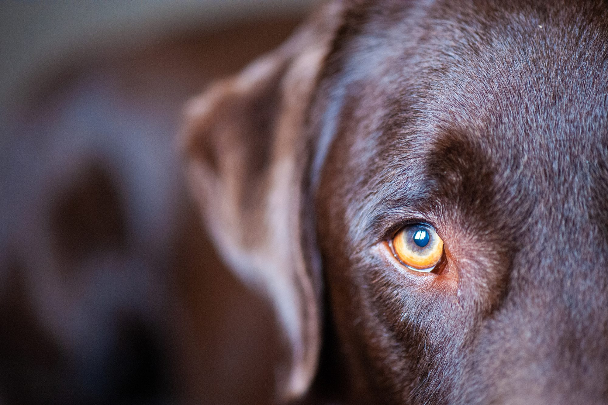 close up of chocolate lab with golden eye