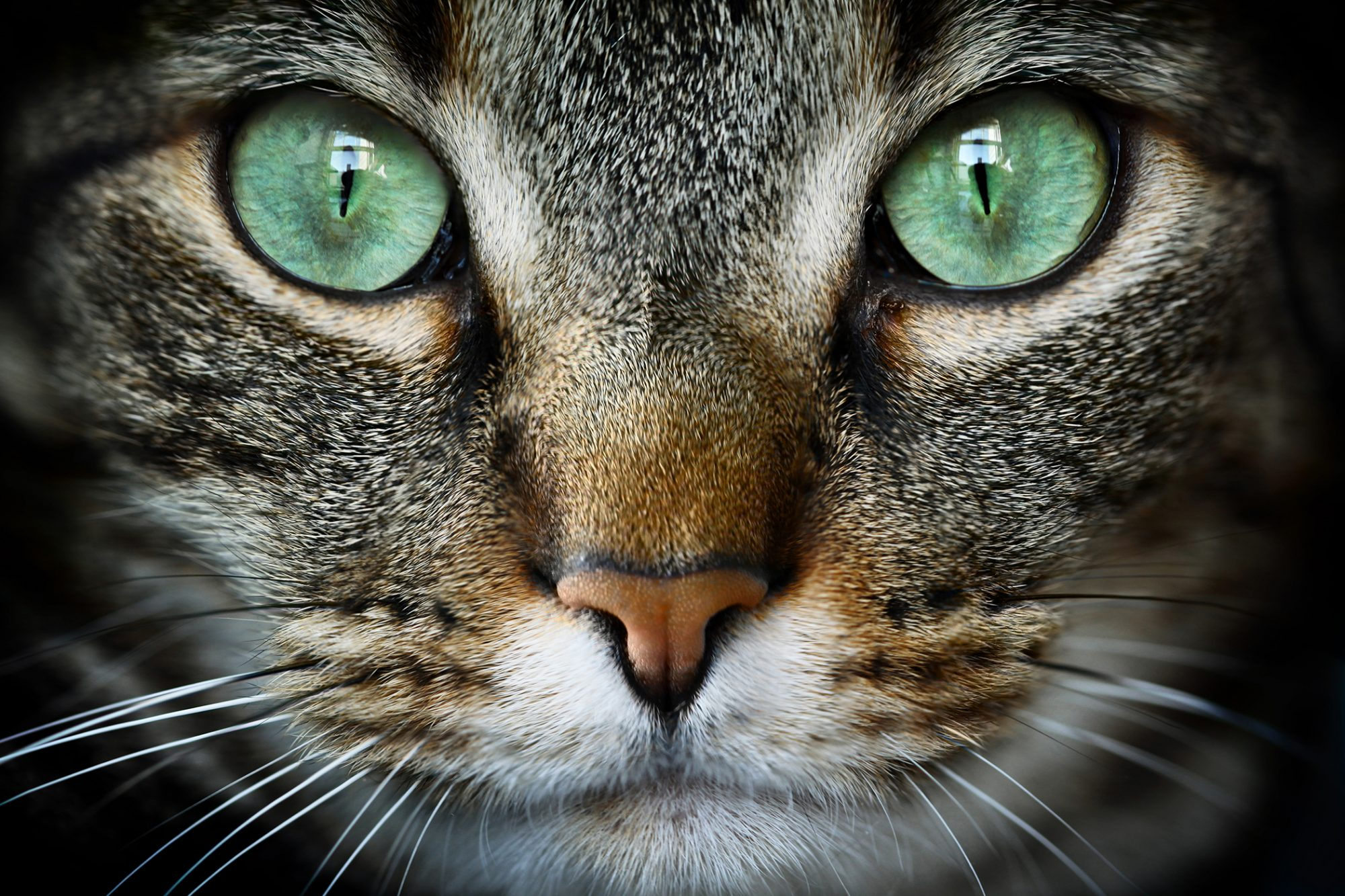 striped cat with bright green eyes looks directly at the camera, close-up