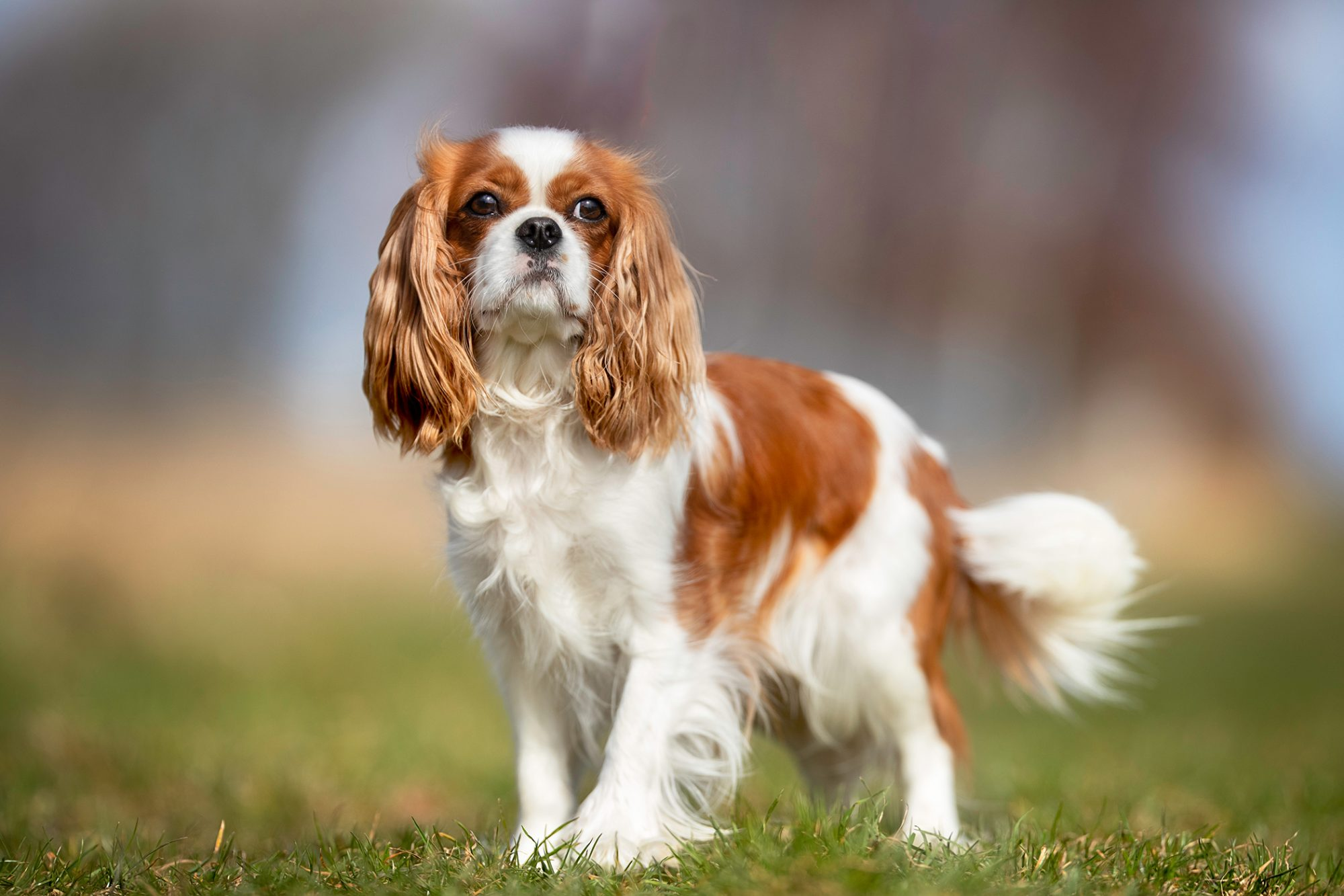 Red and white spaniel stands in grass