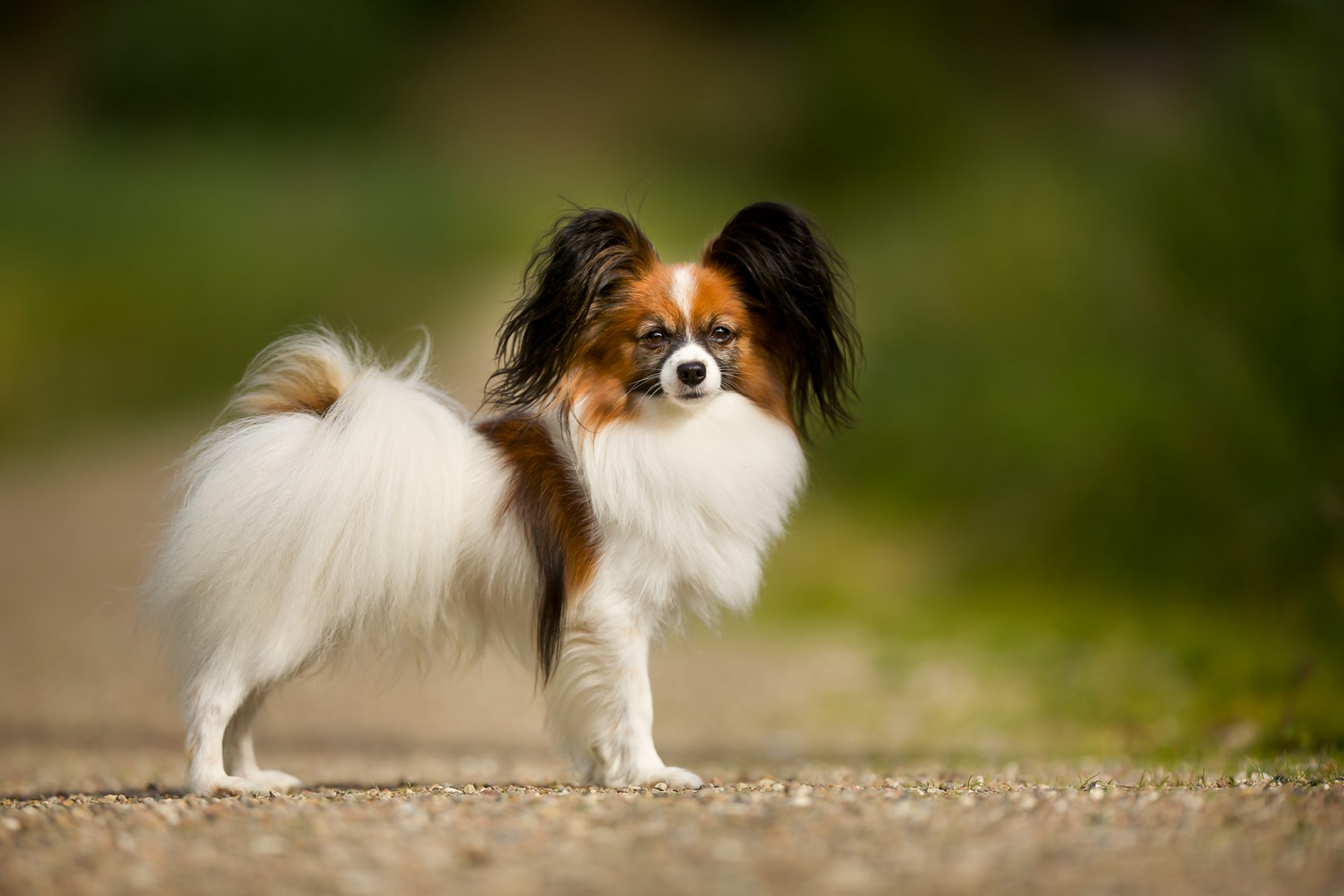 Papillion with red, white and dark fur stands profile-facing on gravel road