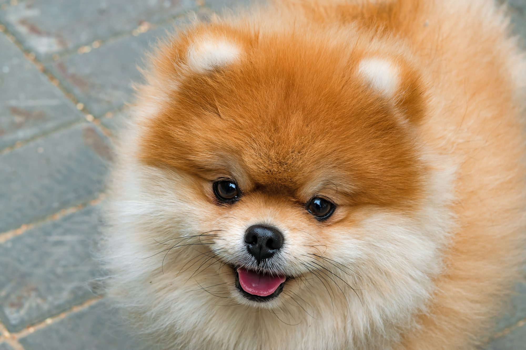 Orange pomeranian smiles in a close up on a grey brick road