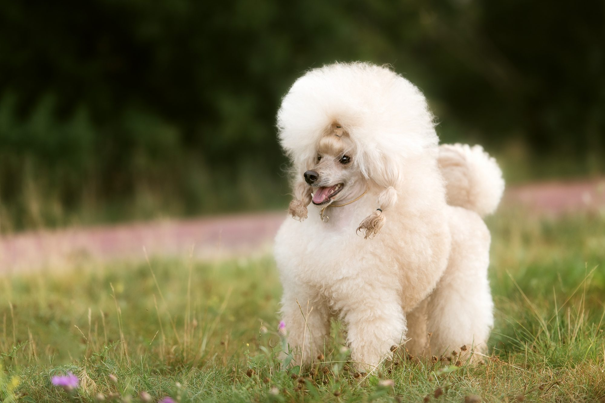 White, fluffy toy poodle stands in field
