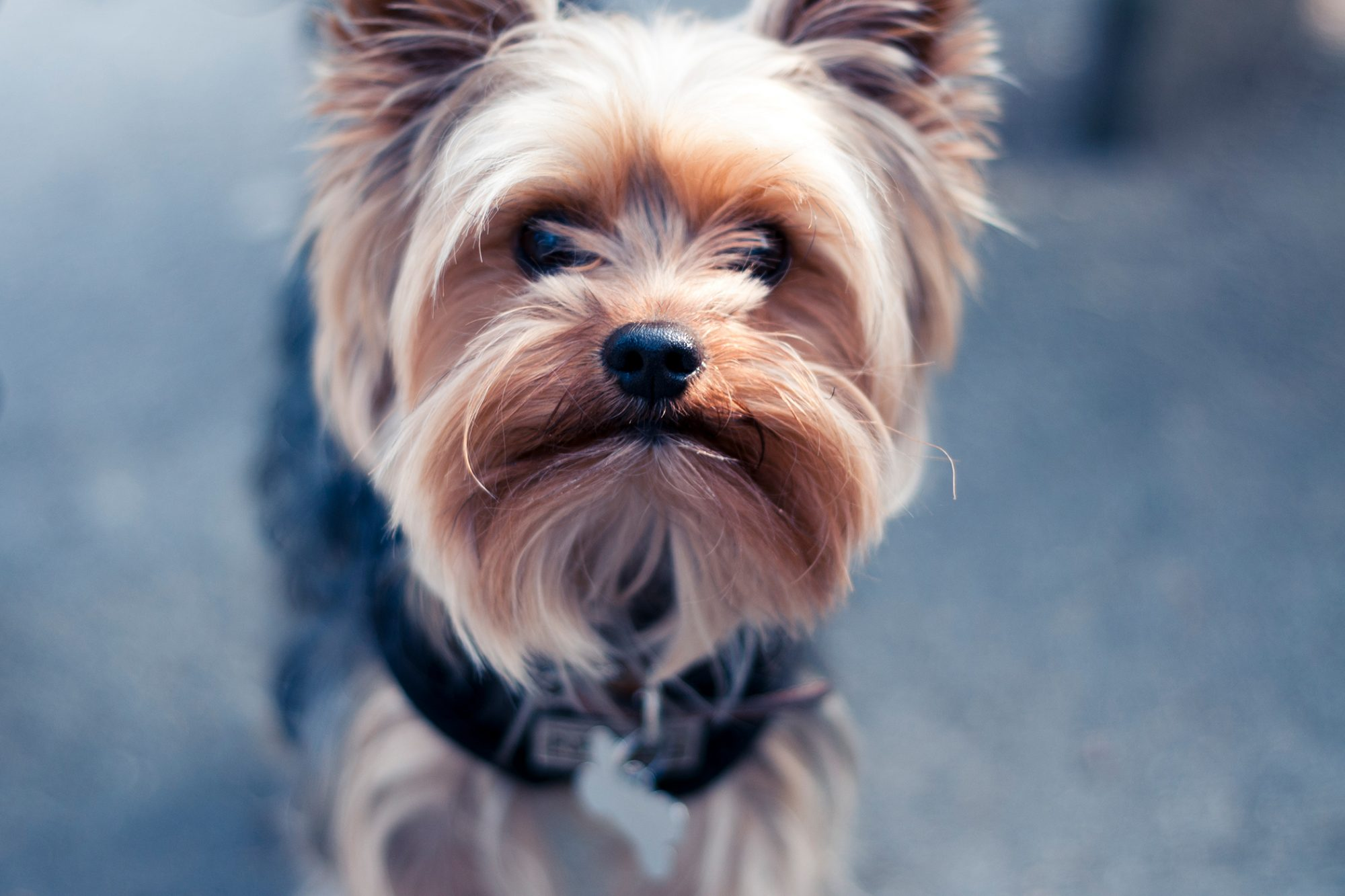 yorkshire terrier with black collar close-up