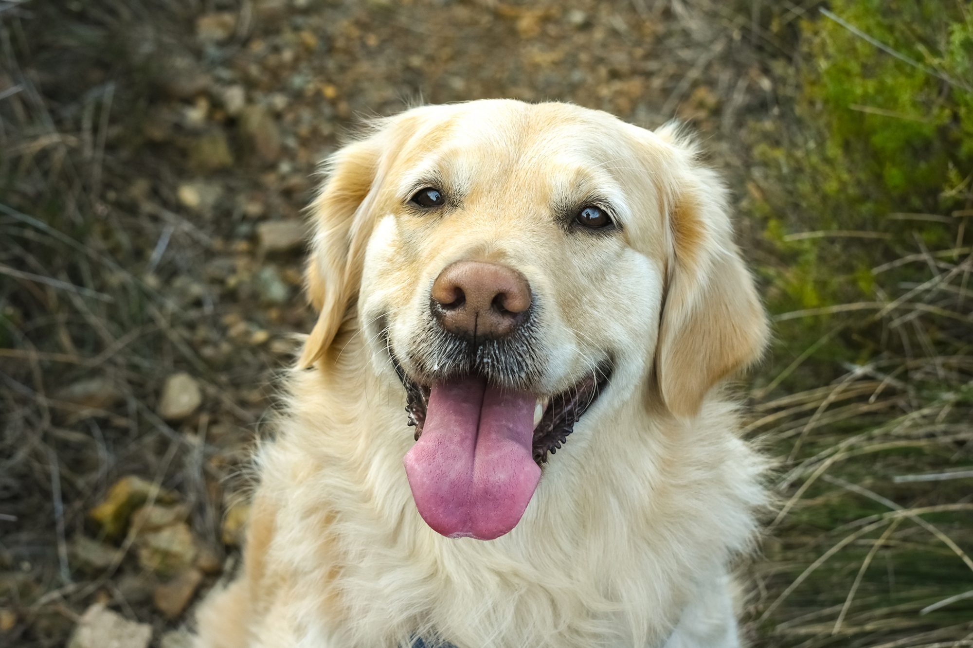 golden retriever looking up at the camera sitting in grass
