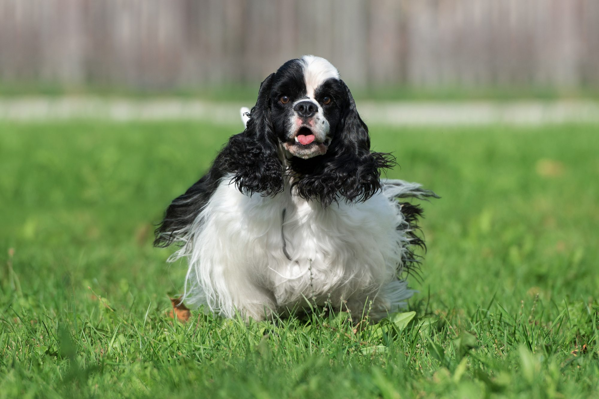 Black and white fluffy cocker spaniel stands in grass