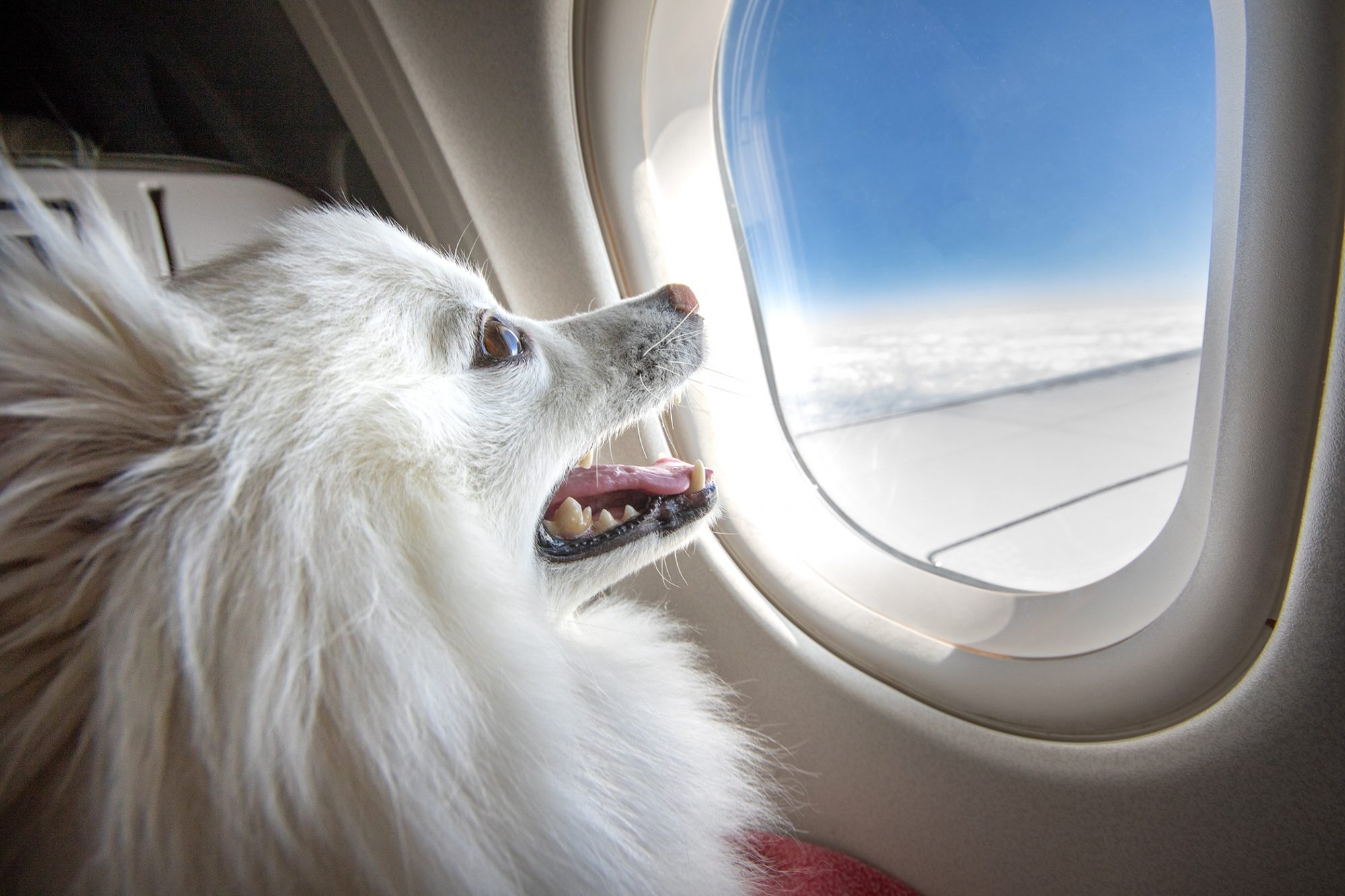 white long-haired dog looks excitedly out of airplane window