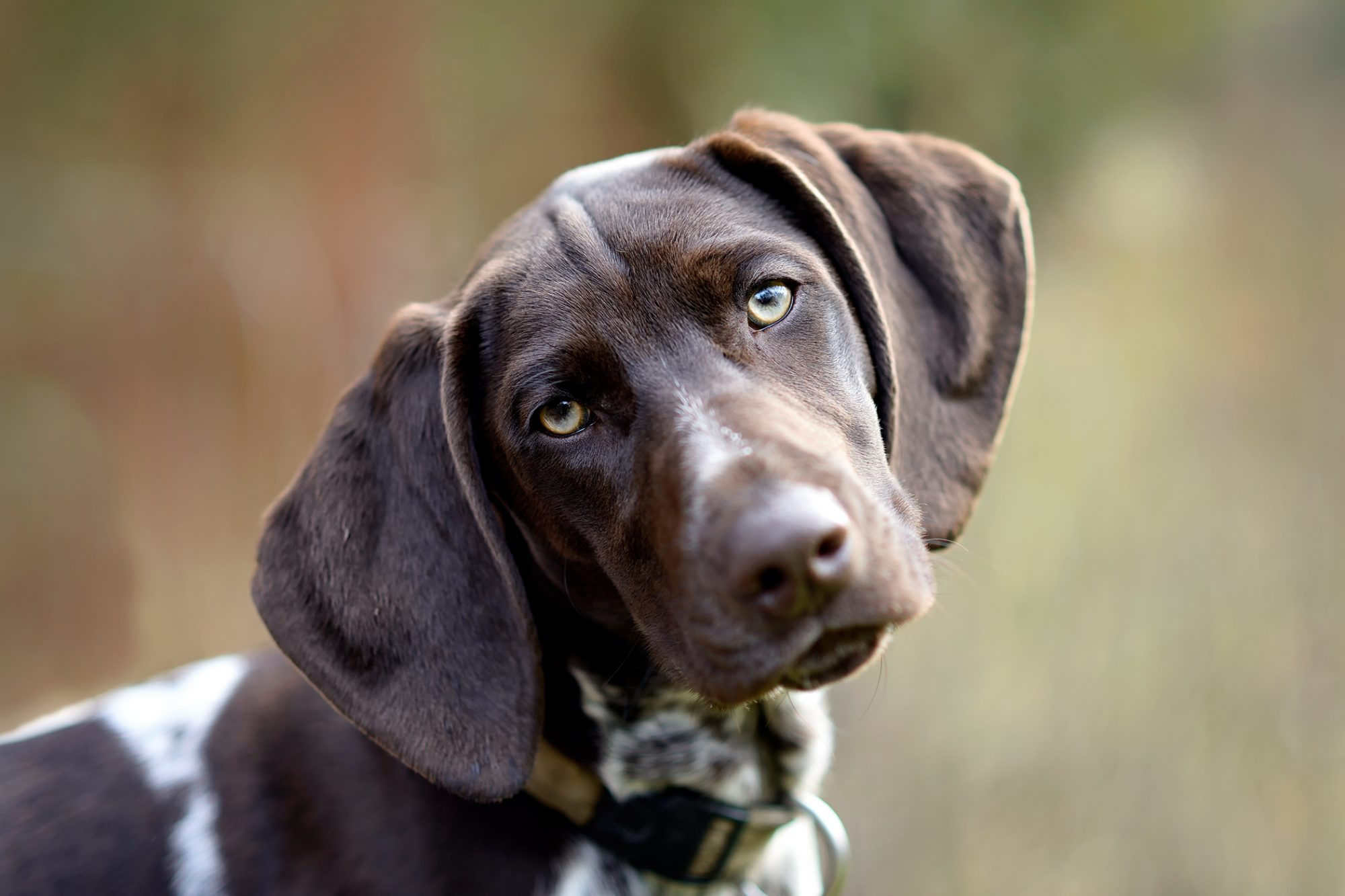 Brown and white pointer tilts head to the left in close-up