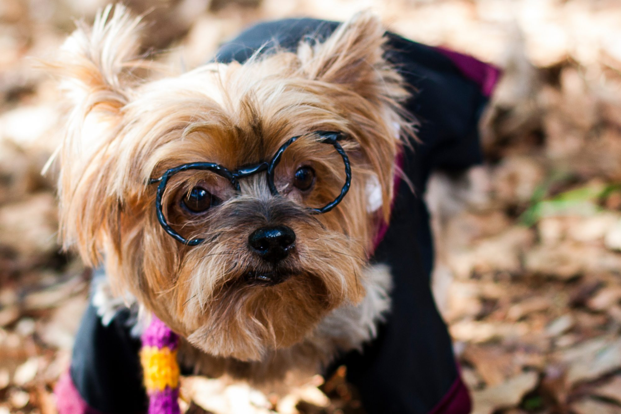 Small dog wears glasses and striped scarf, harry potter robe