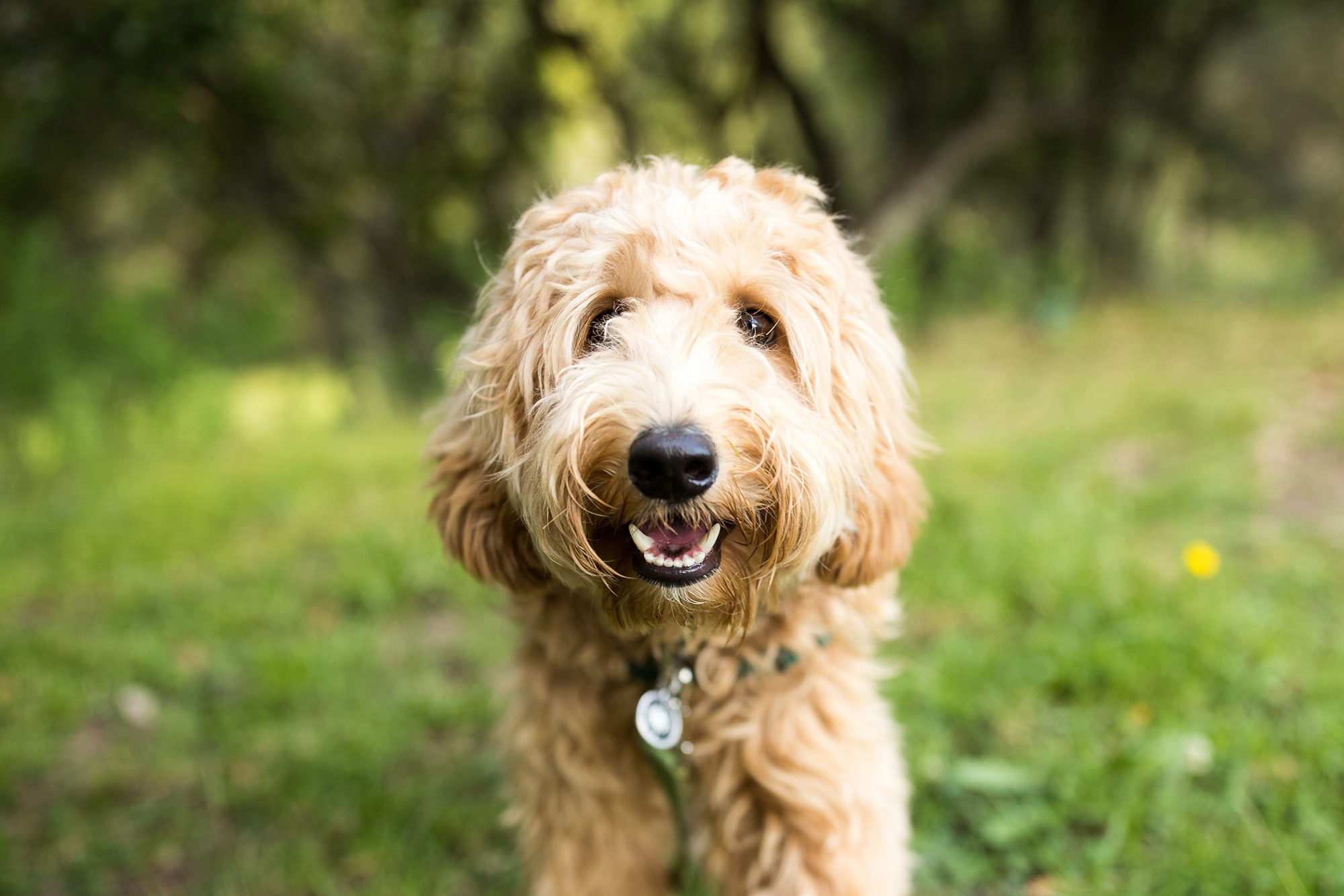 blonde labradoodle smiles at camera in grassy field