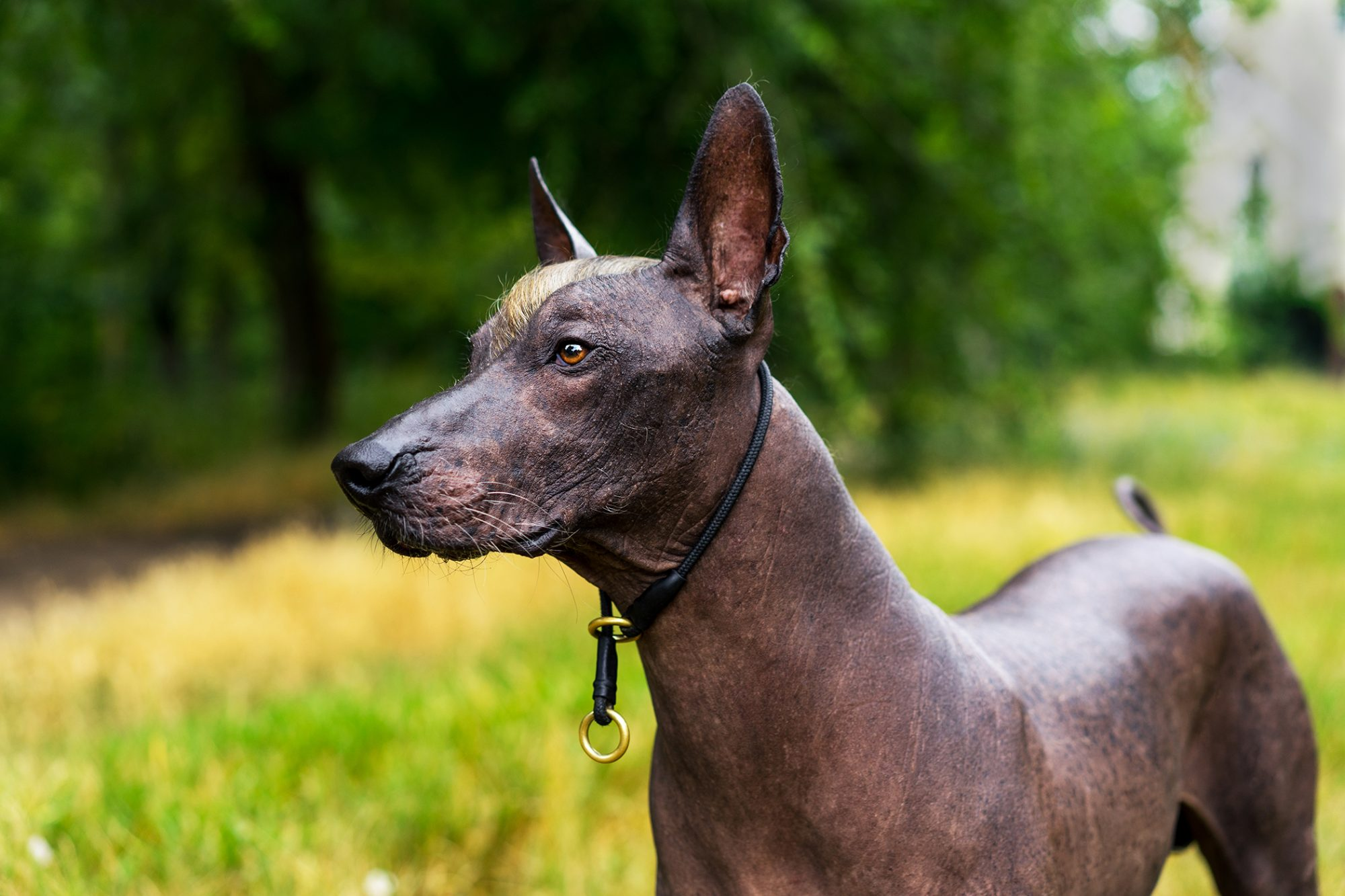 Close up portrait of Mexican hairless dog, purple-red color