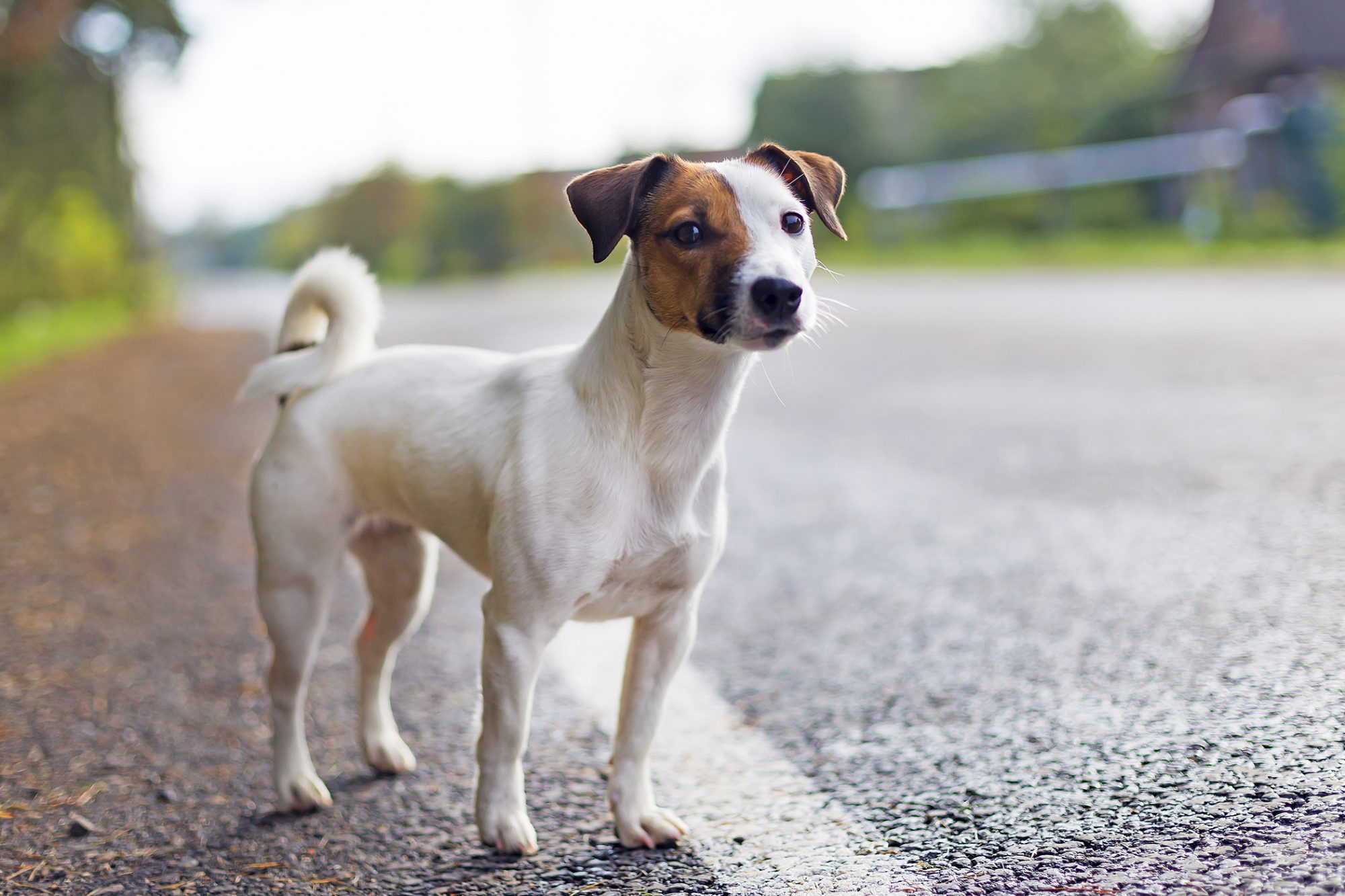 jack russell terrier stands next to asphalt road