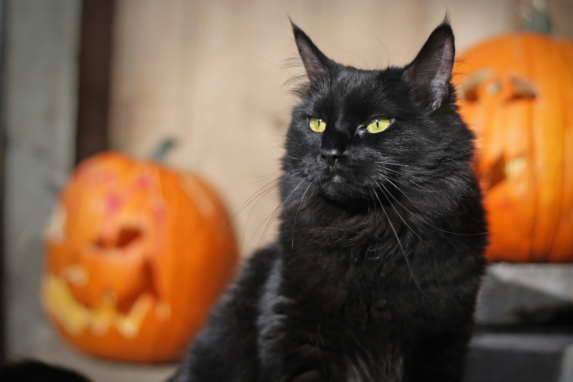 black cat sitting with pumpkins