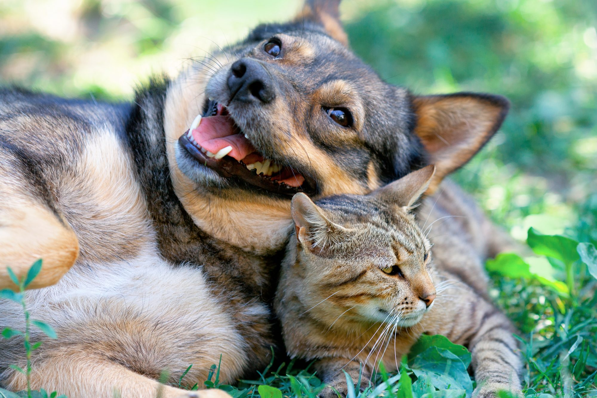dog and cat playing together in grass