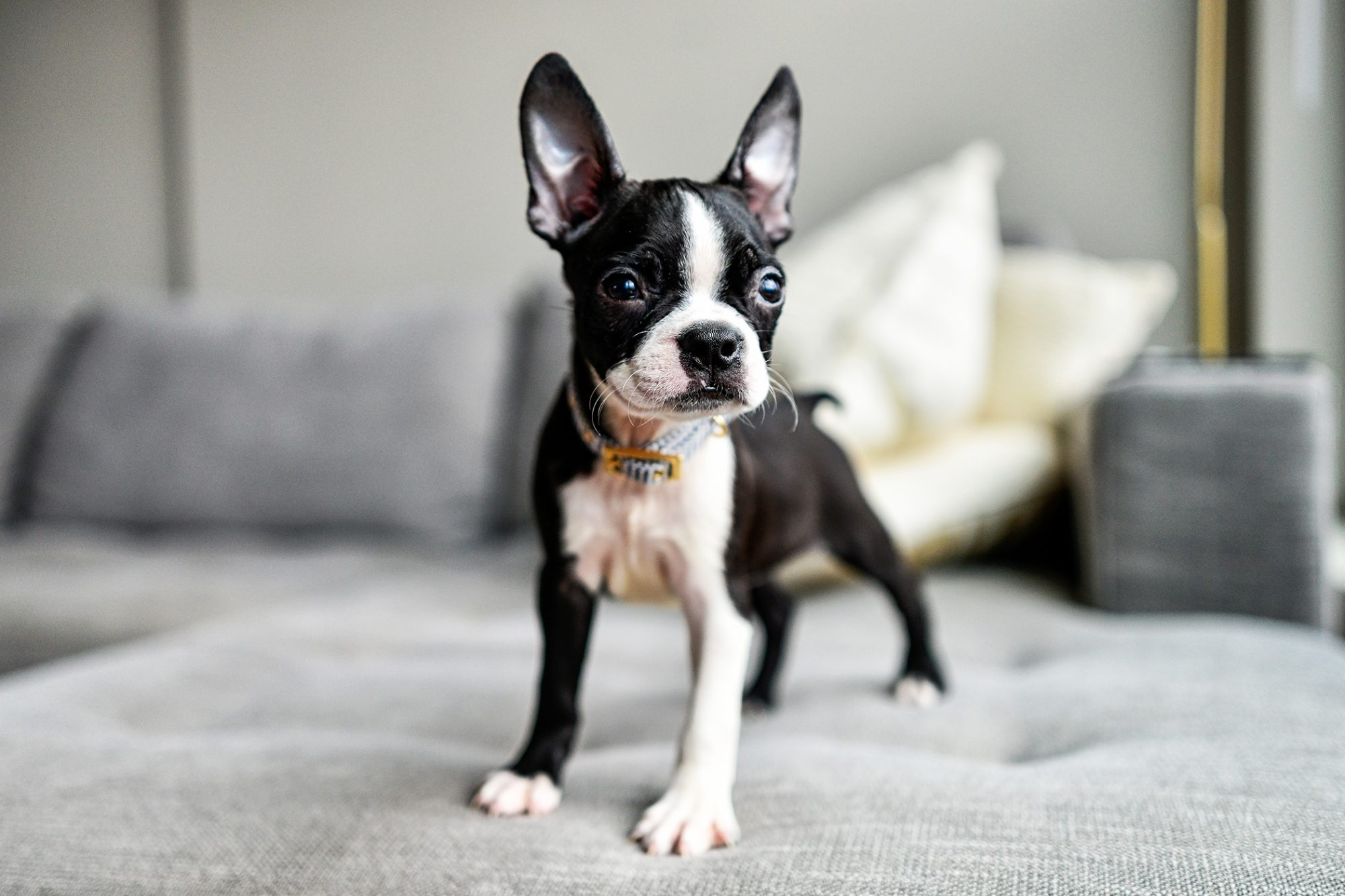 small black and white Boston Terrier standing on couch