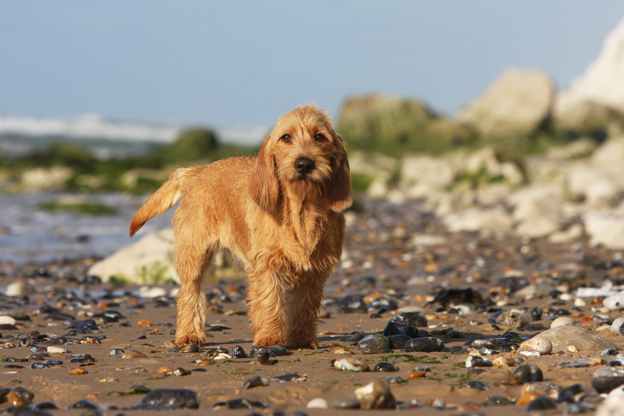 Copper-colored Brittany basset stands on rocky shoreline