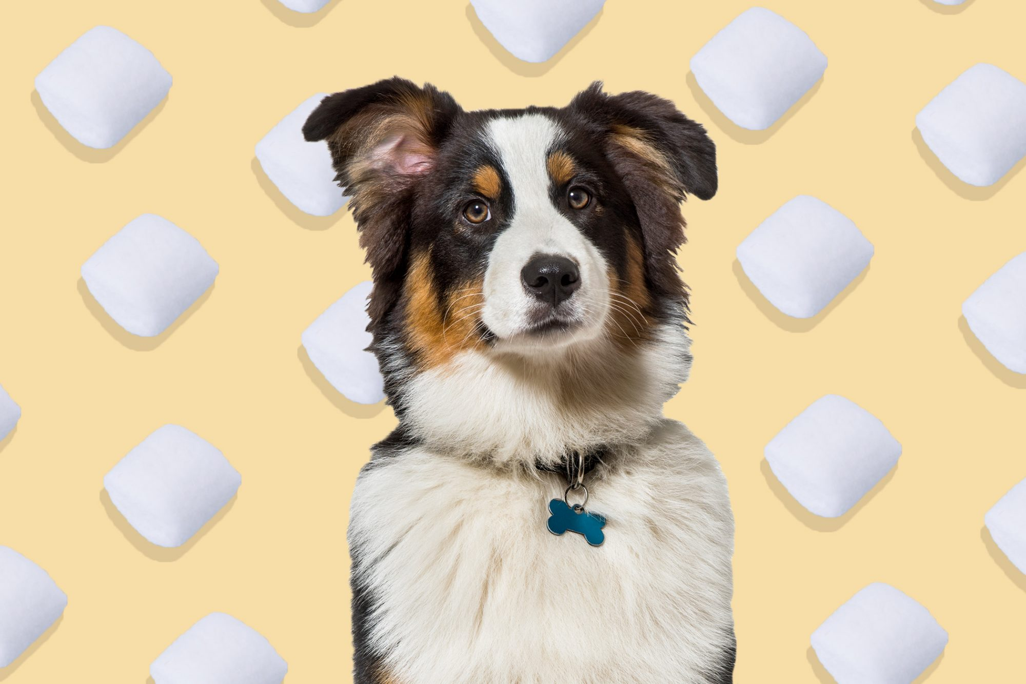 White, orange and black collie sits in front of marshmallow illustration background
