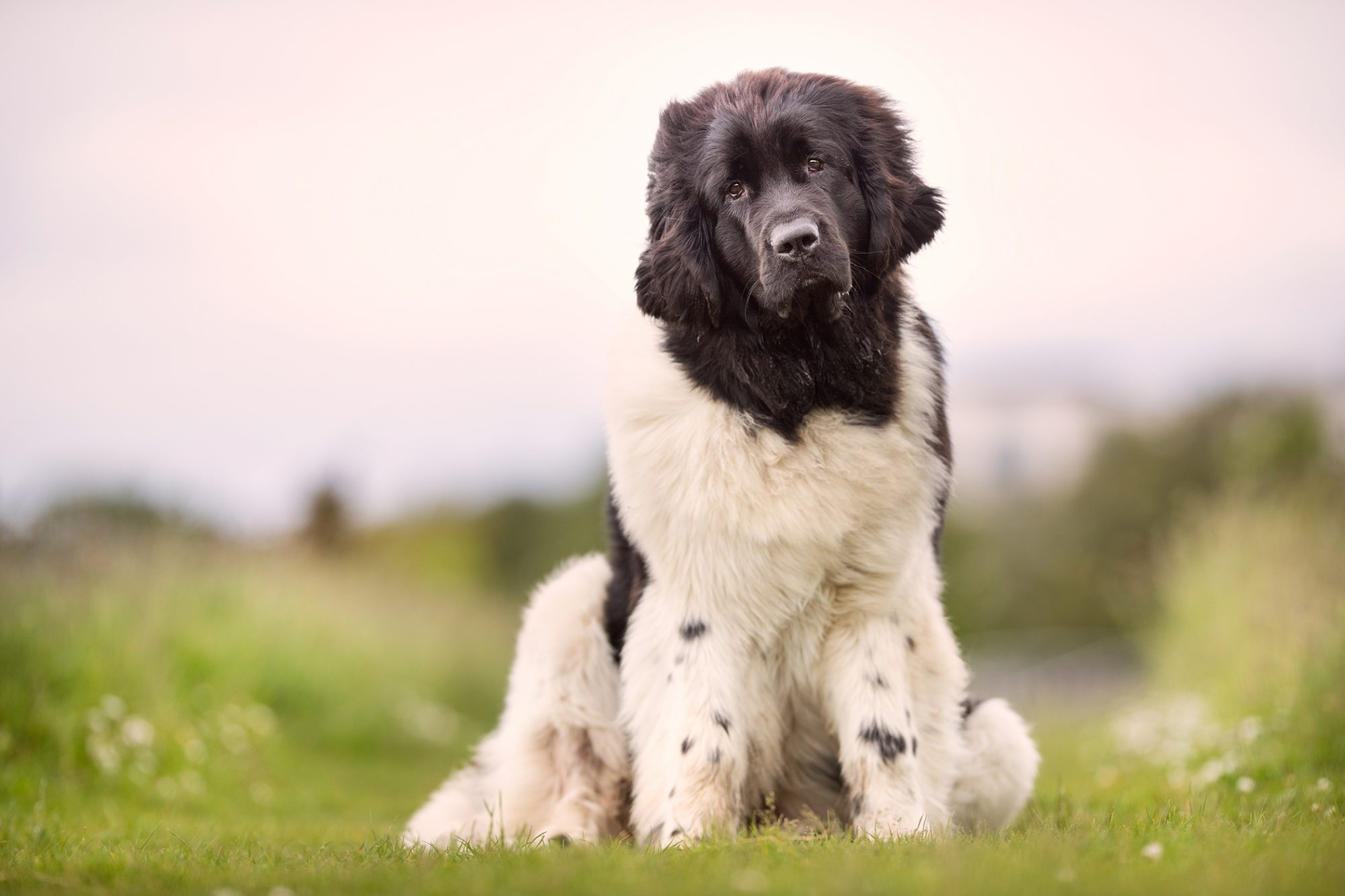 Adult Newfoundland sits with head titled in grassy field