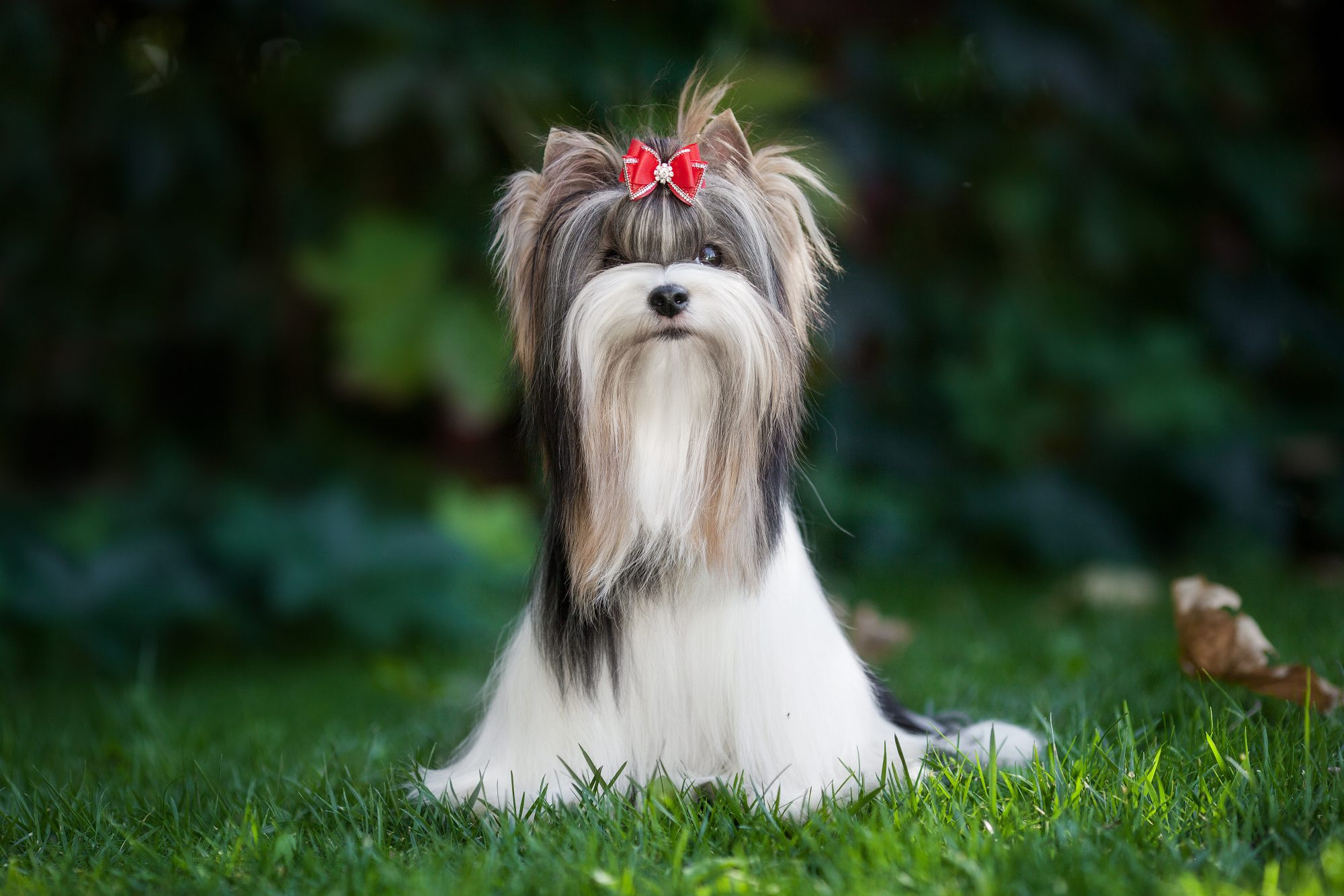 biewer terrier with a red bow in their hair sits on grassy lawn