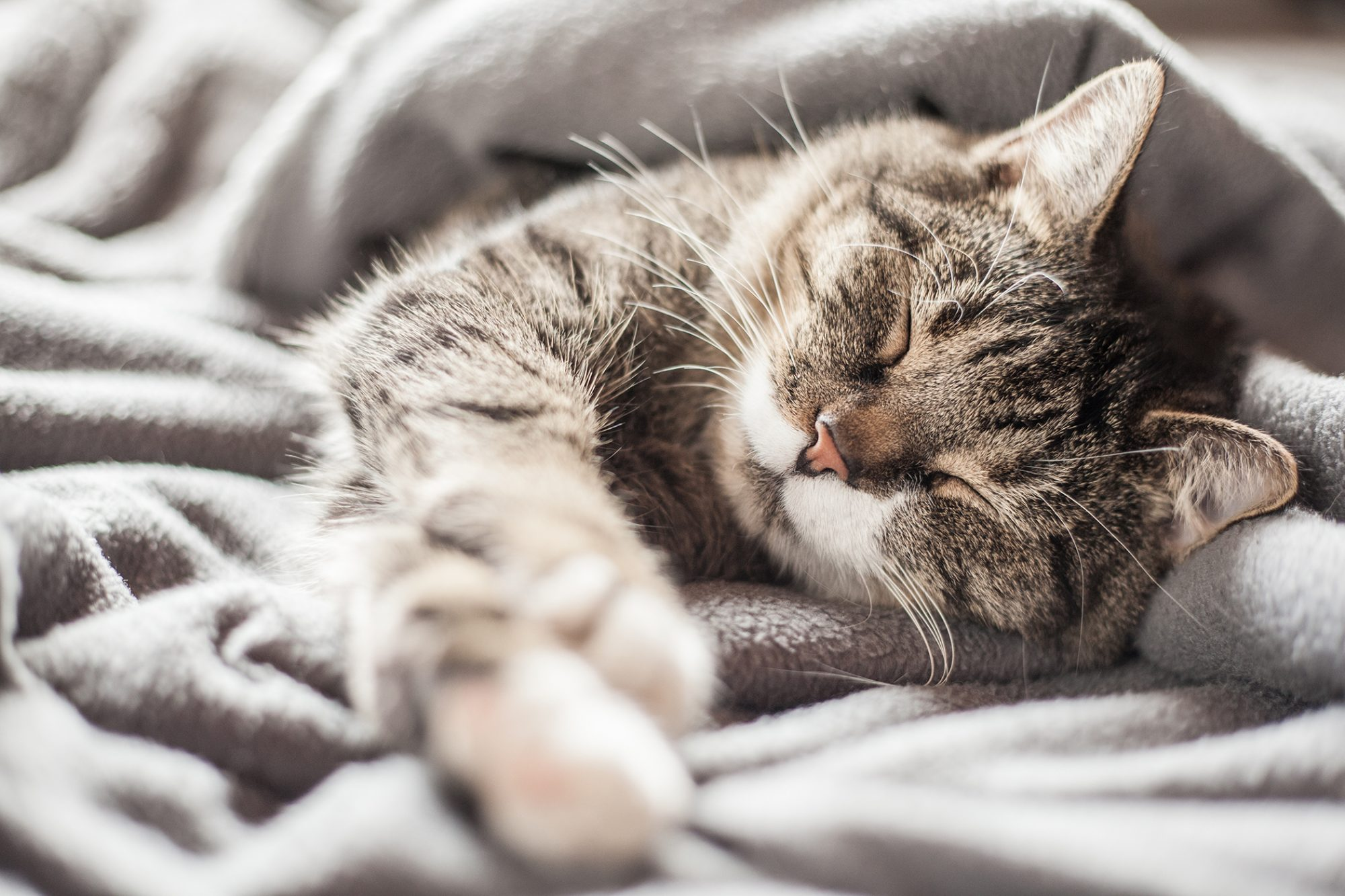 Striped cat is asleep in a fluffy blanket