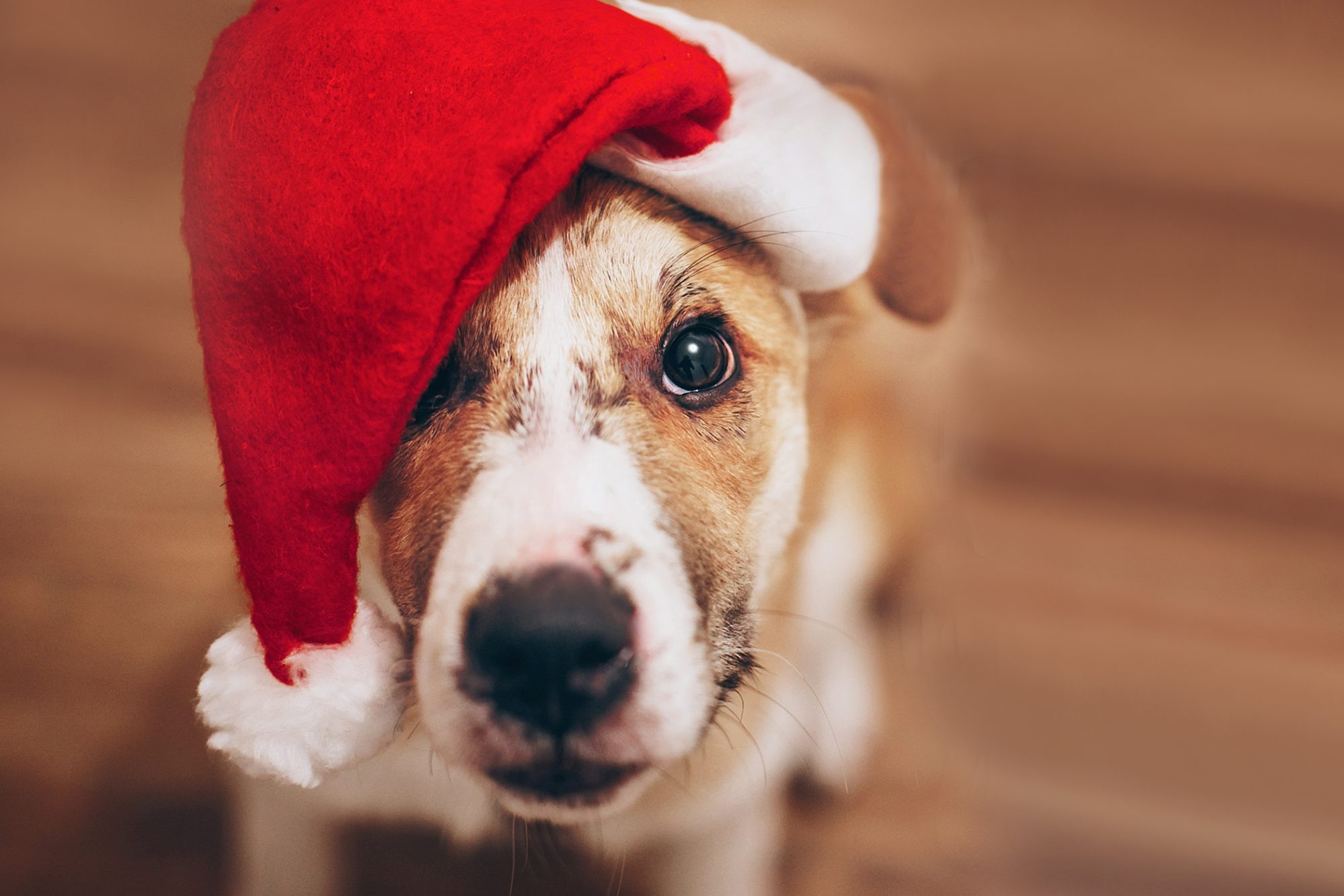 brown and white dog in santa hat