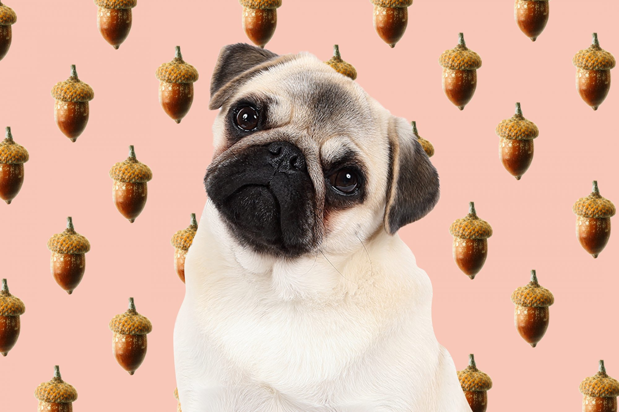 pug dog in front of a background with an acorn pattern