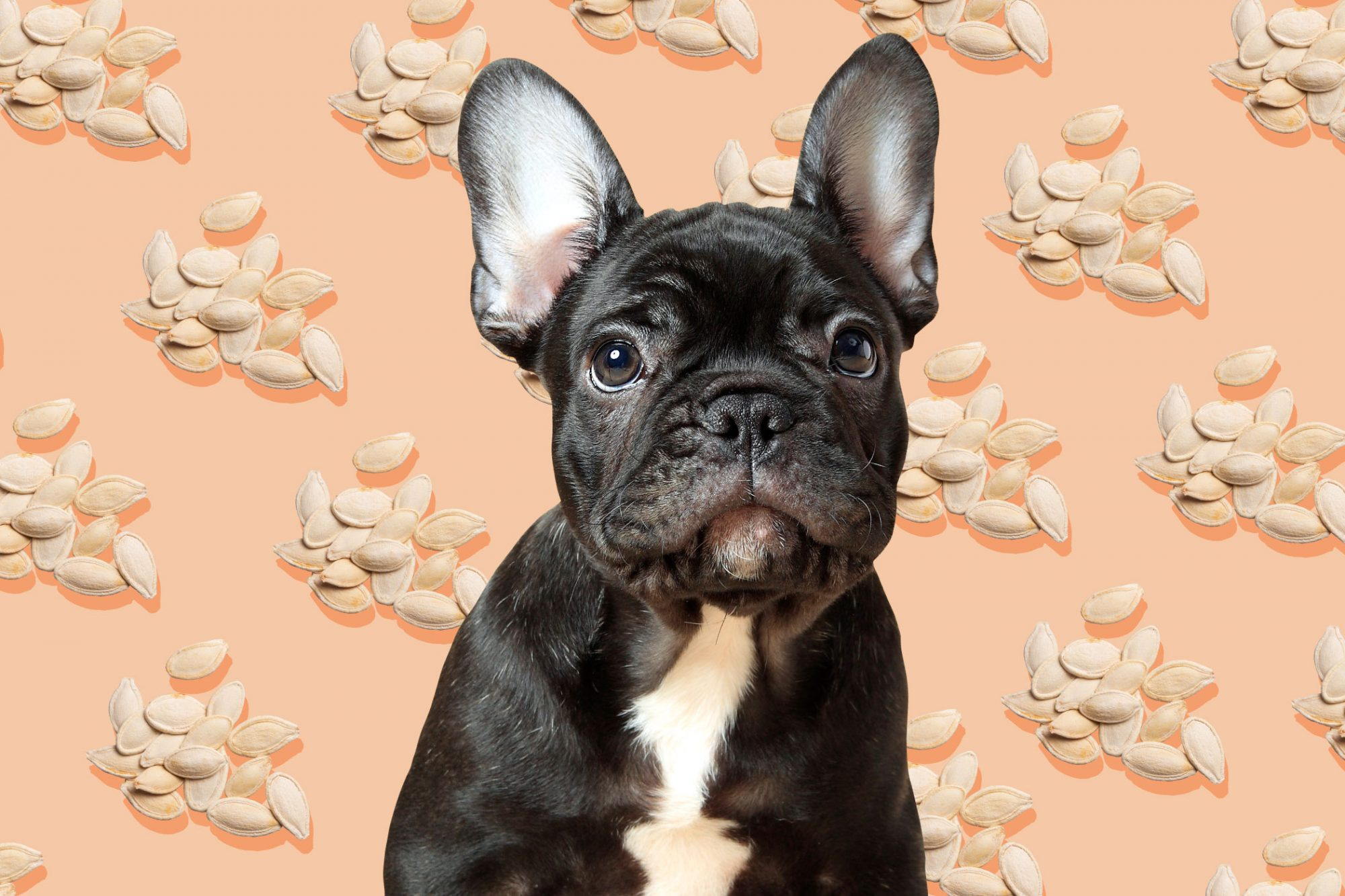 Black french bulldog sits in front of background illustration of pumpkin seeds