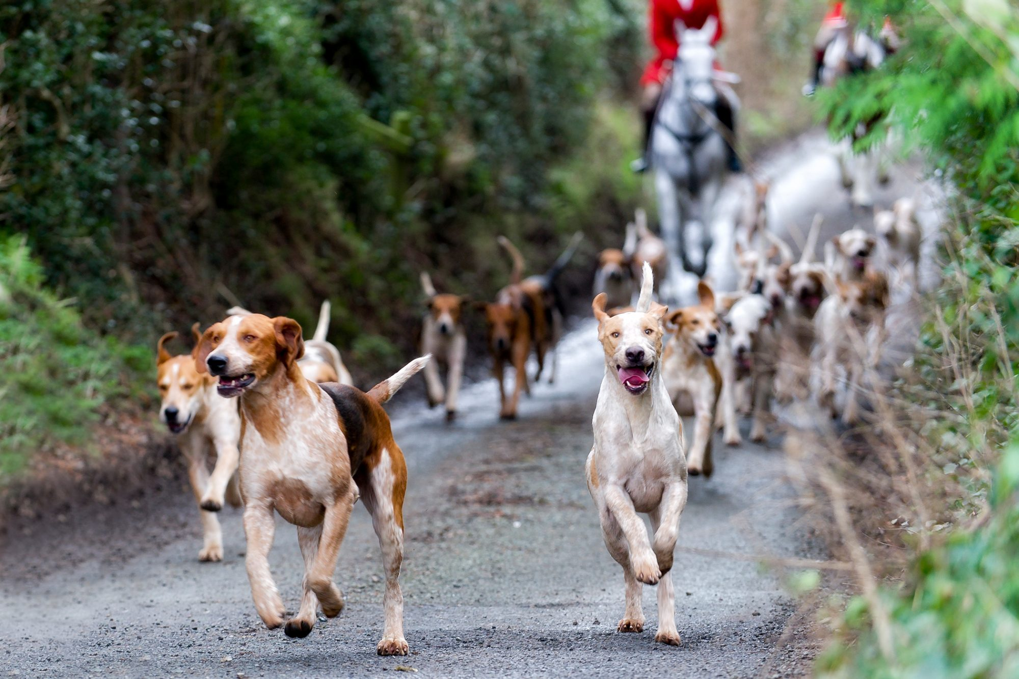 english foxhounds running in a pack on a hunting event