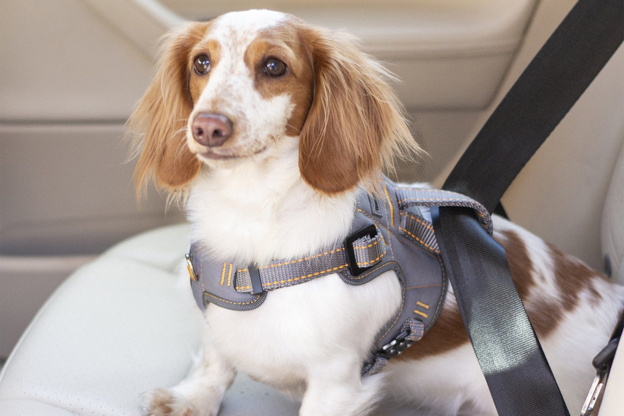 brown and white dog on car seat buckled in with harness
