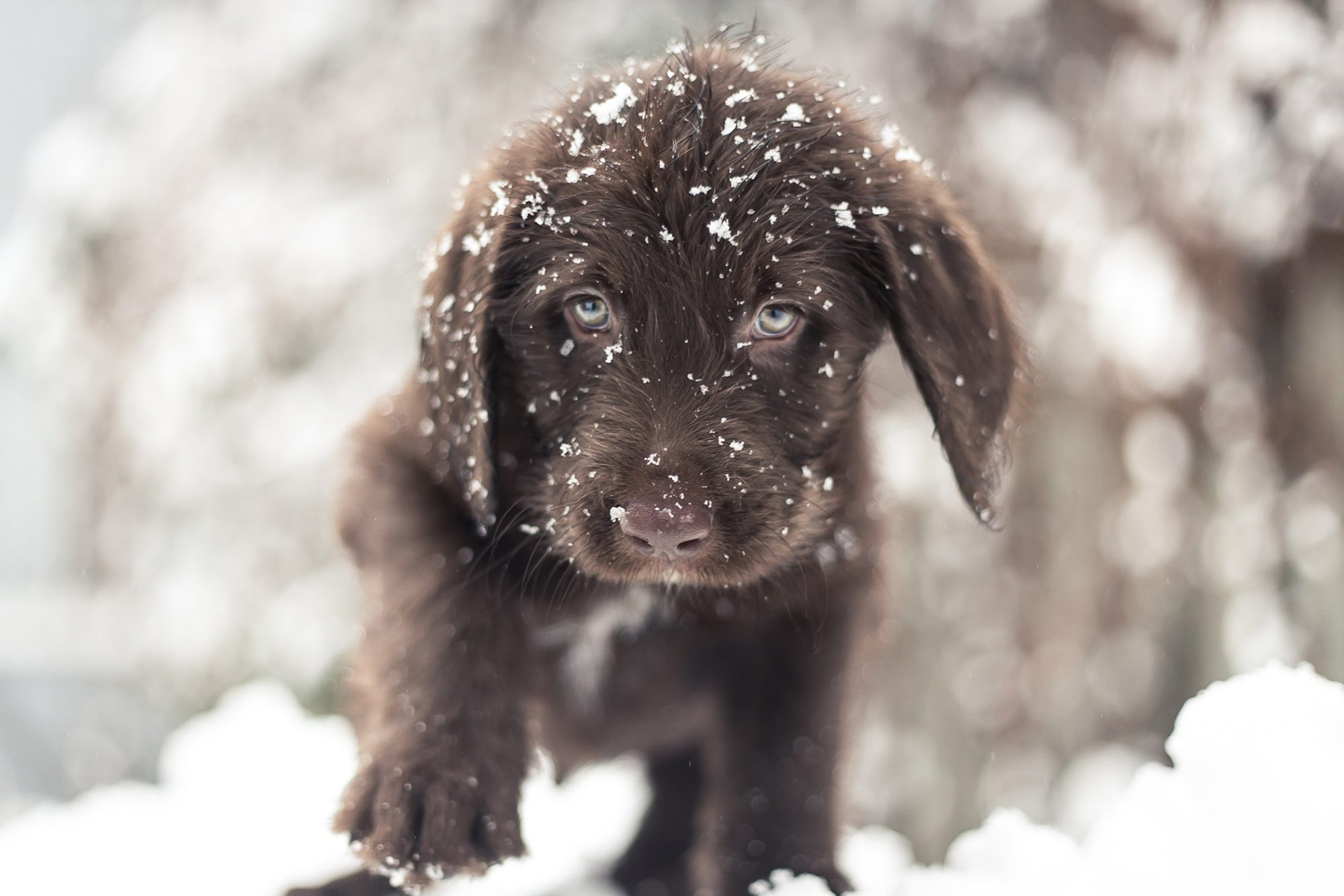 Chocolate lab puppy plays in snow