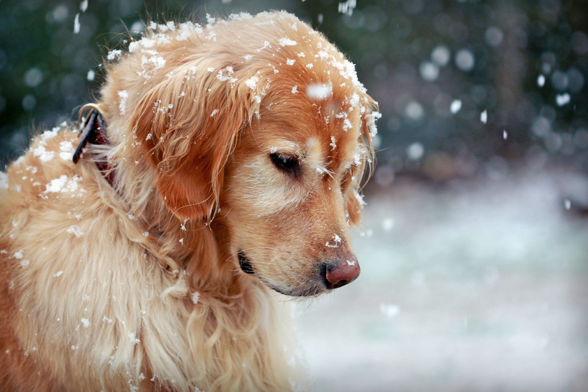 Golden retriever watches a snowflake intently